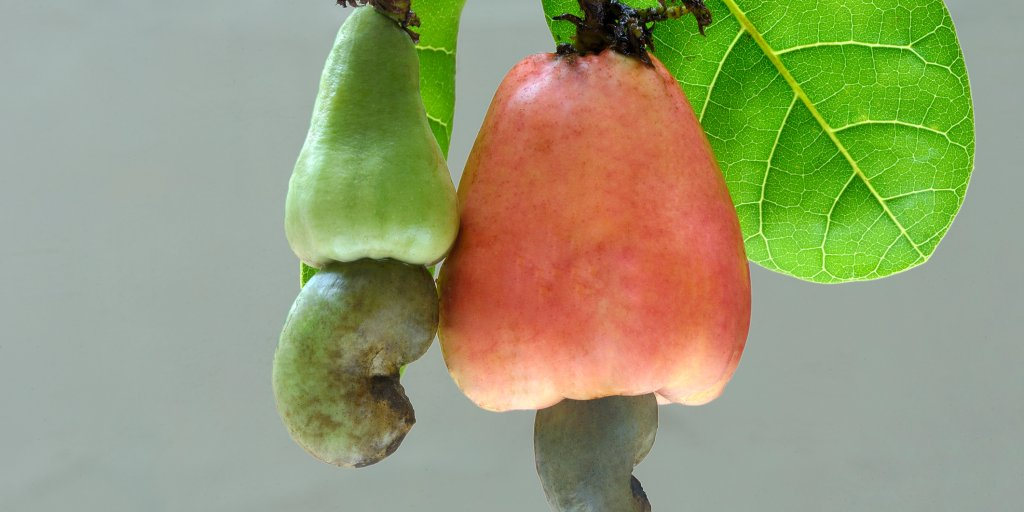 People Are Still Trying to Come to Terms With How Cashews Grow Thanks to a World-Shattering Picture