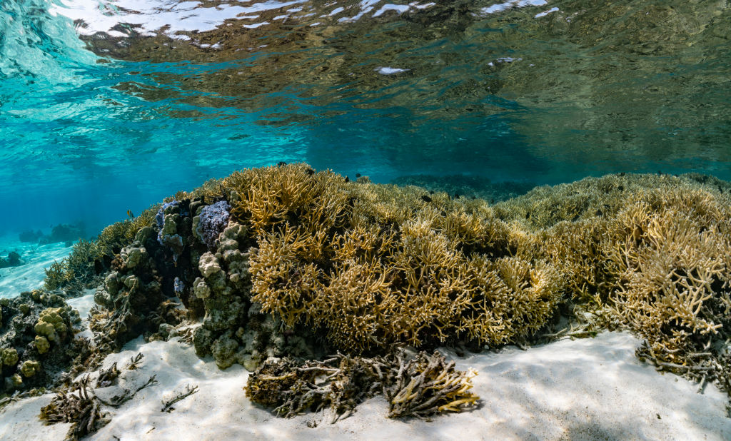 A view of major bleaching on the coral reefs of the Society Islands on May 9, 2019 in Moorea, French Polynesia.