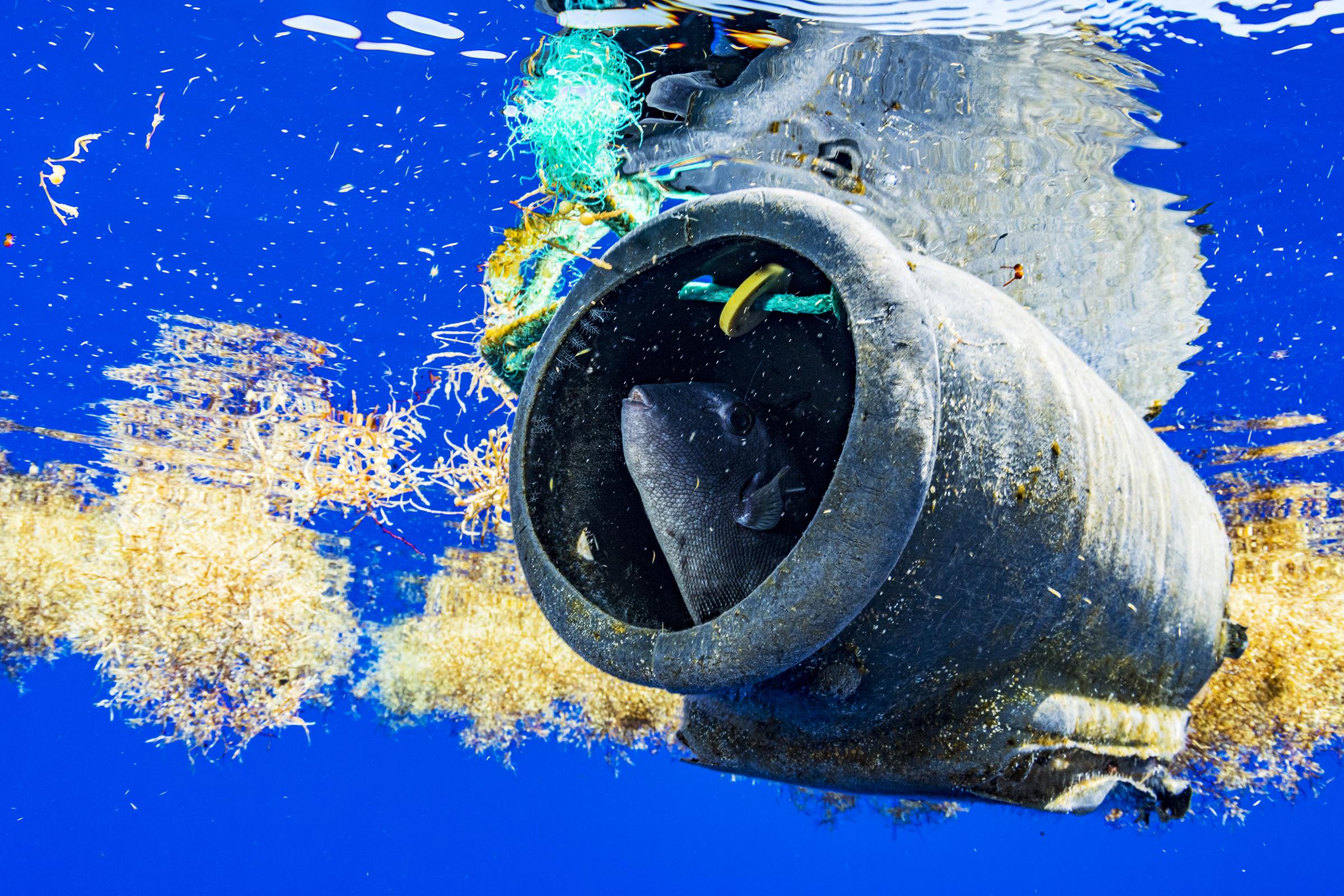 Trigger fish inside plastic debris between Sargassum in the Sargasso Sea.