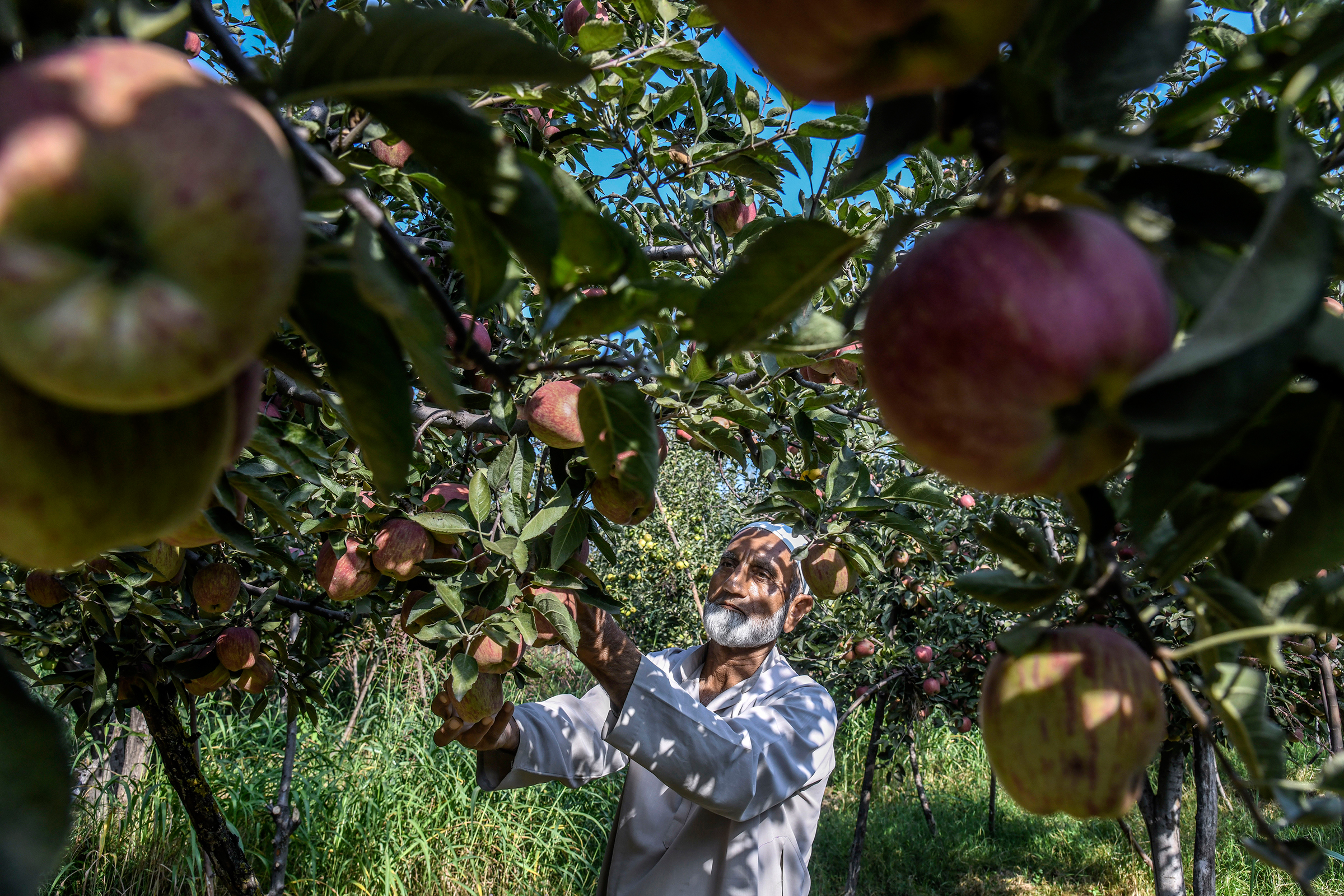Gh Mohiuddin Mir, 65, who worries that if the Kashmir crisis is not resolved by harvest time he will be financially devastated, at his apple farm in Budgam, India, on Sept. 19, 2019.