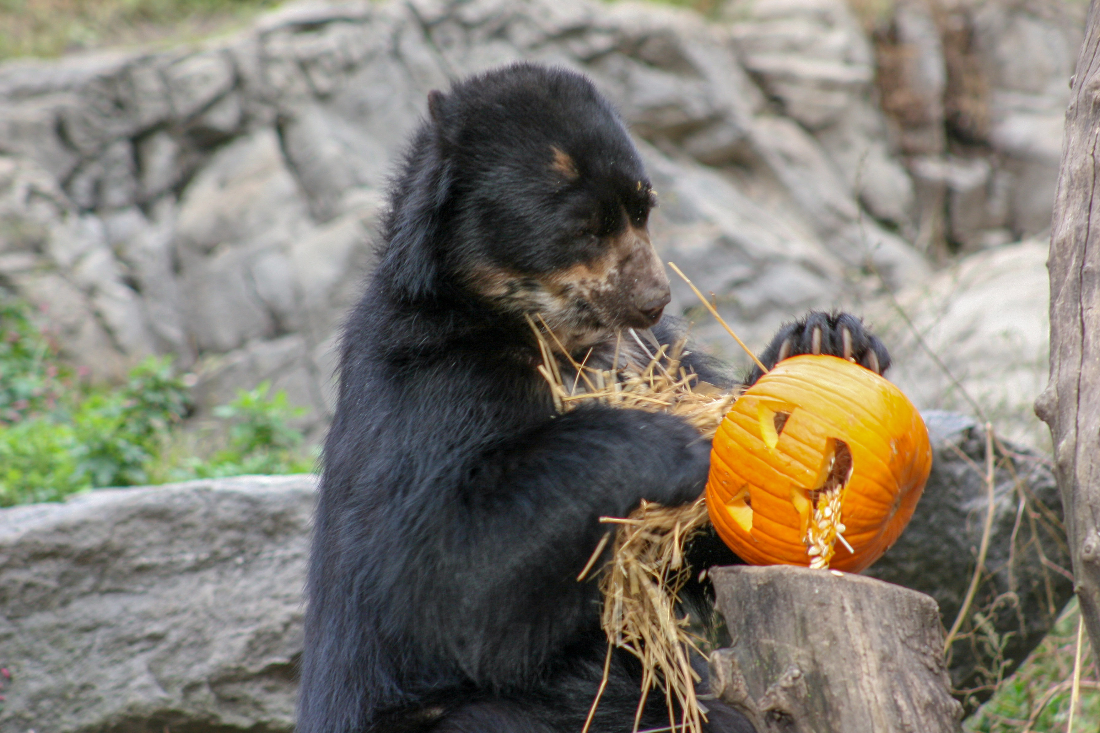 Hungry Halloween Bear Steals Pumpkin and No Gourd Is Safe | Time
