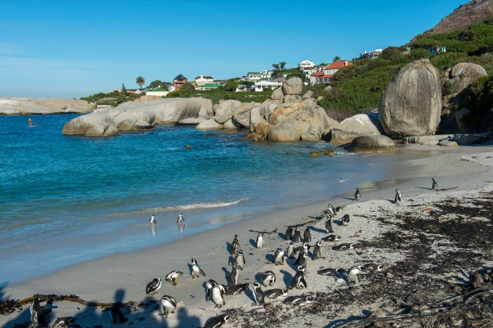 Penguins at Boulder's Beach in South Africa.