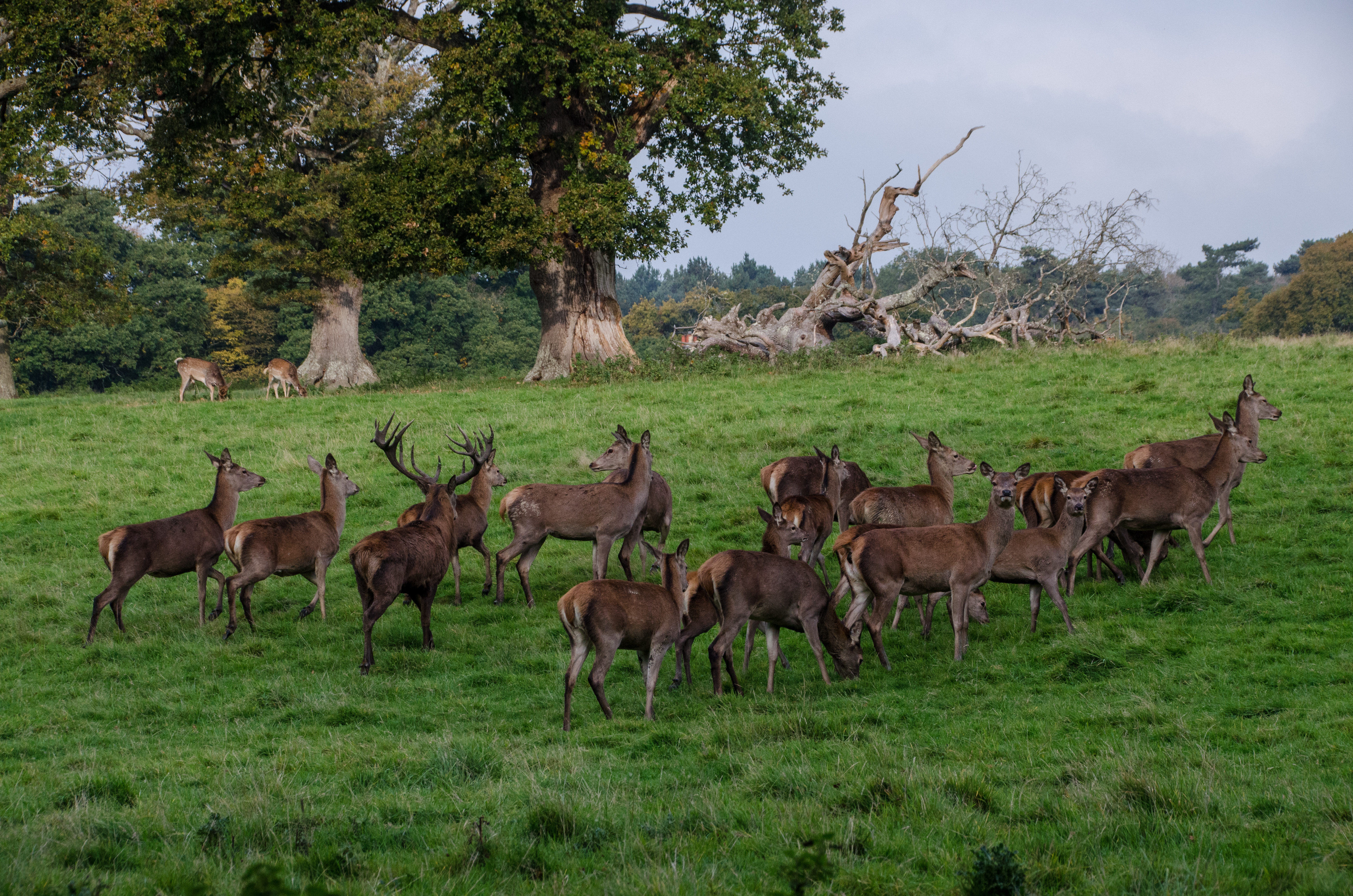 Red Deer at Knepp Castle Estate