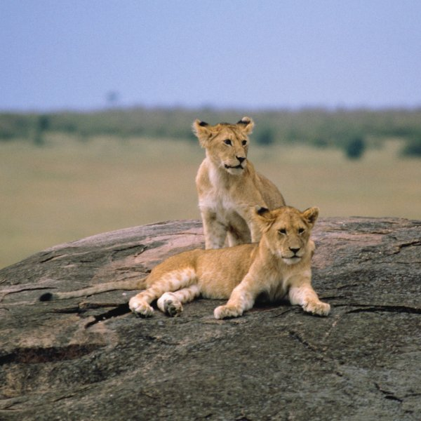 the-lion-king-adventure-kenya