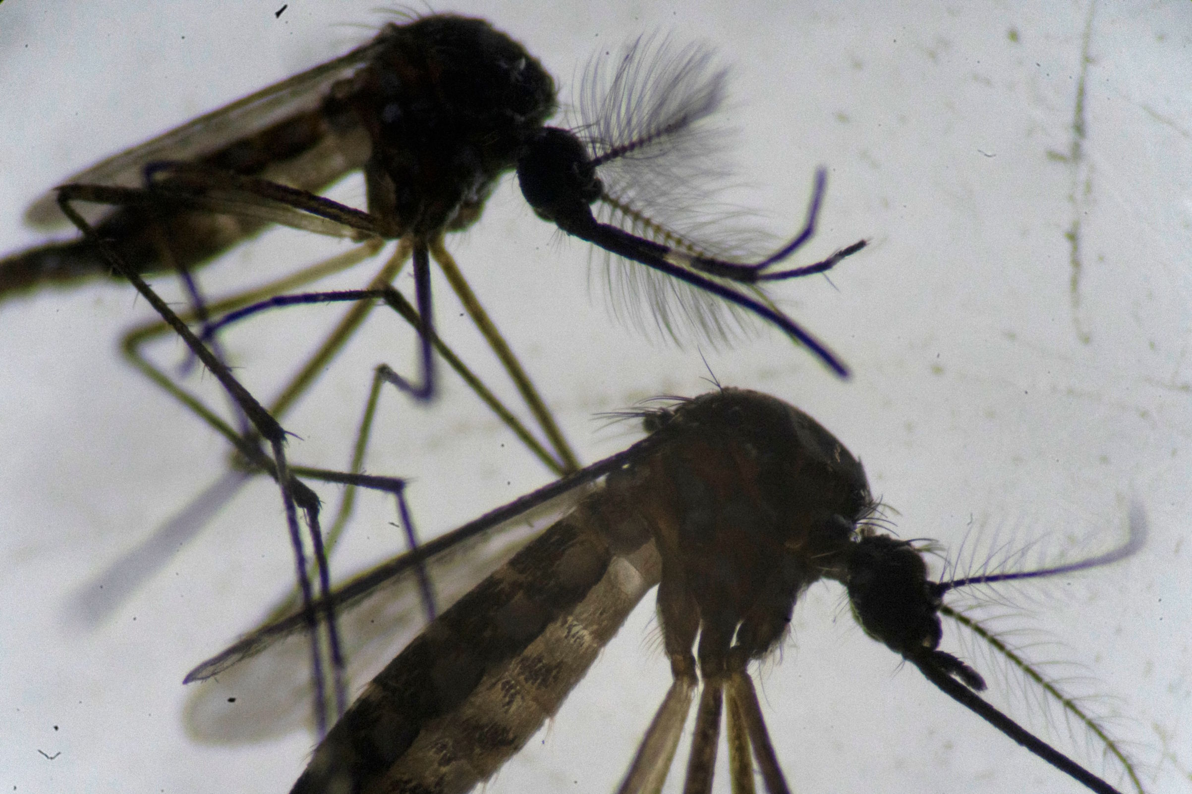 A male (top) and a female (bottom) Aedes aegypti mosquito are seen through a microscope at the Oswaldo Cruz Foundation laboratory in Rio de Janeiro on Aug. 14, 2019.