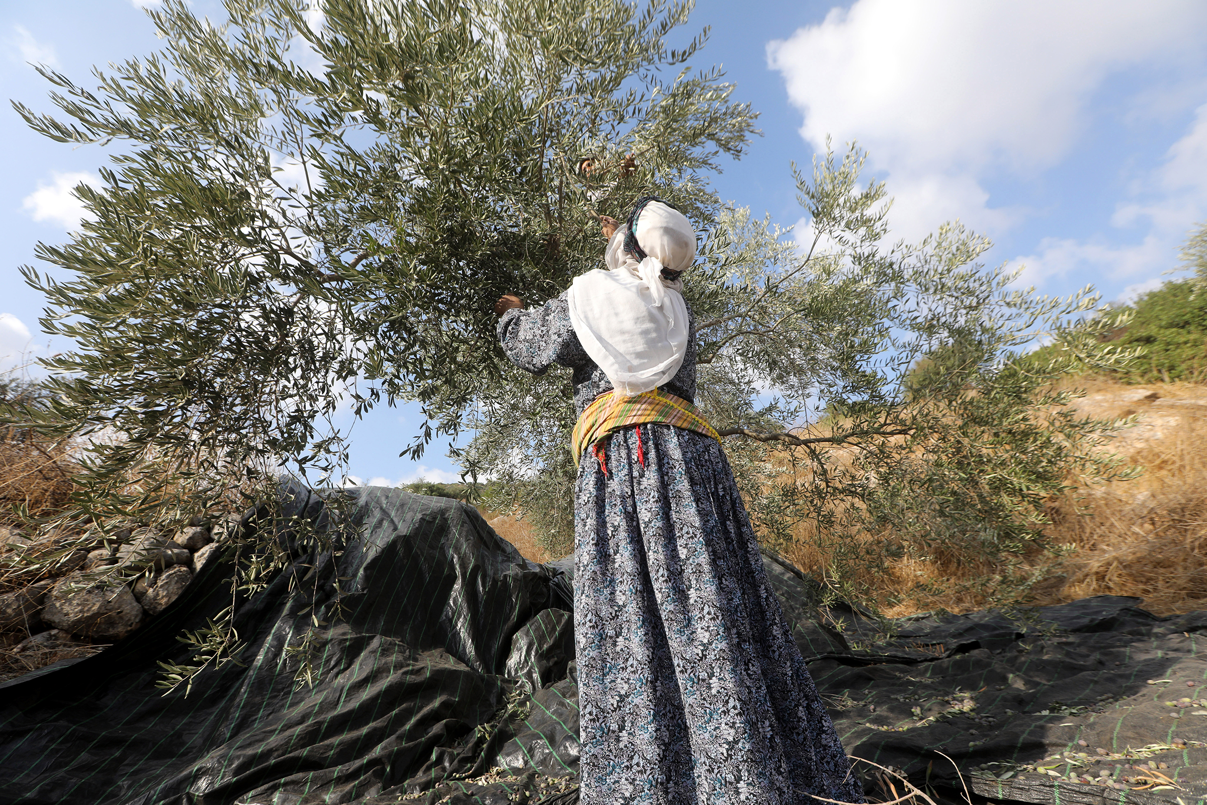 A Palestinian farmer collects olives in an olive grove on the outskirts of the West Bank village of Raba, near the city of Jenin, on Oct. 19, 2019.