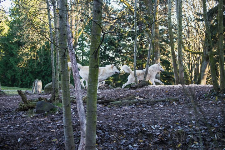 Wolves at the Woodland Park Zoo in New Zealand