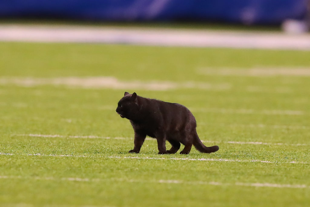 Best Memes Of The Cat At The Giants Cowboys Football Game Time