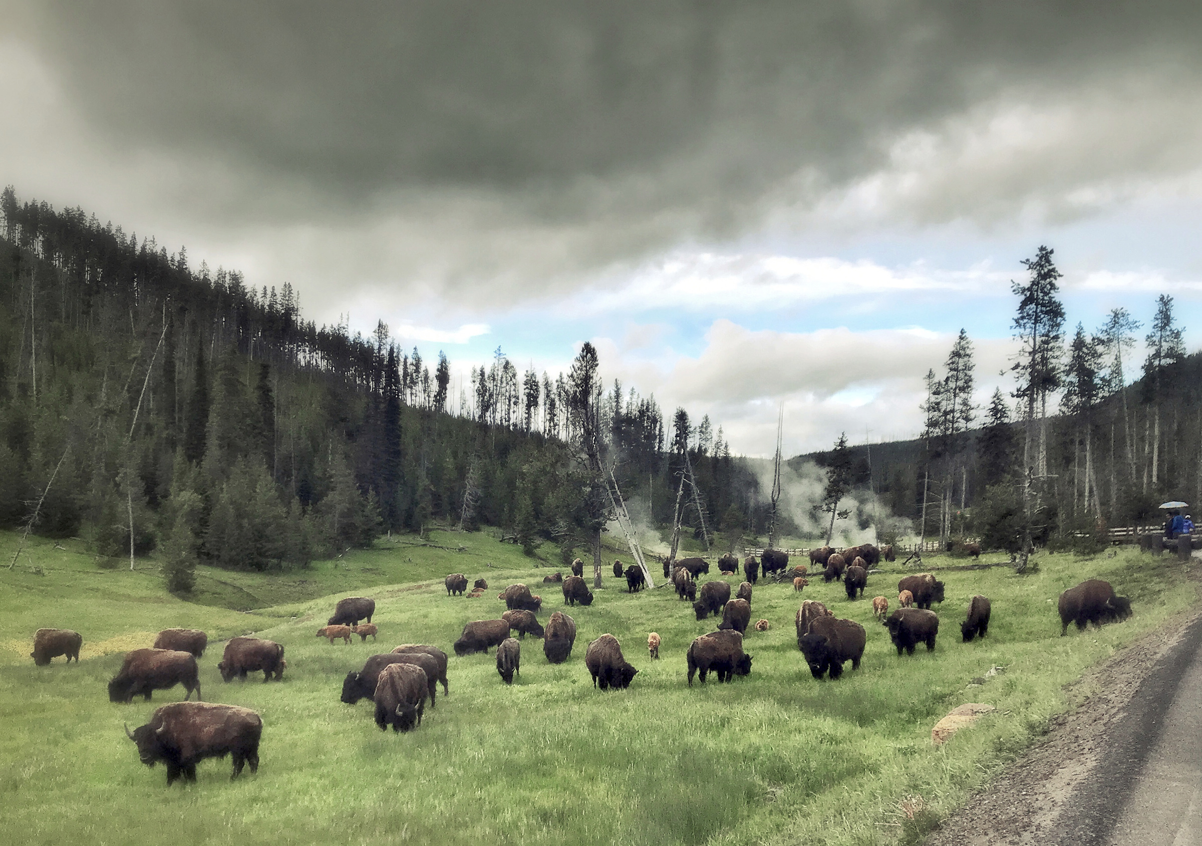 Bisons grazing near Devils Den in Yellowstone National Park in Wyoming, on July 5, 2018.