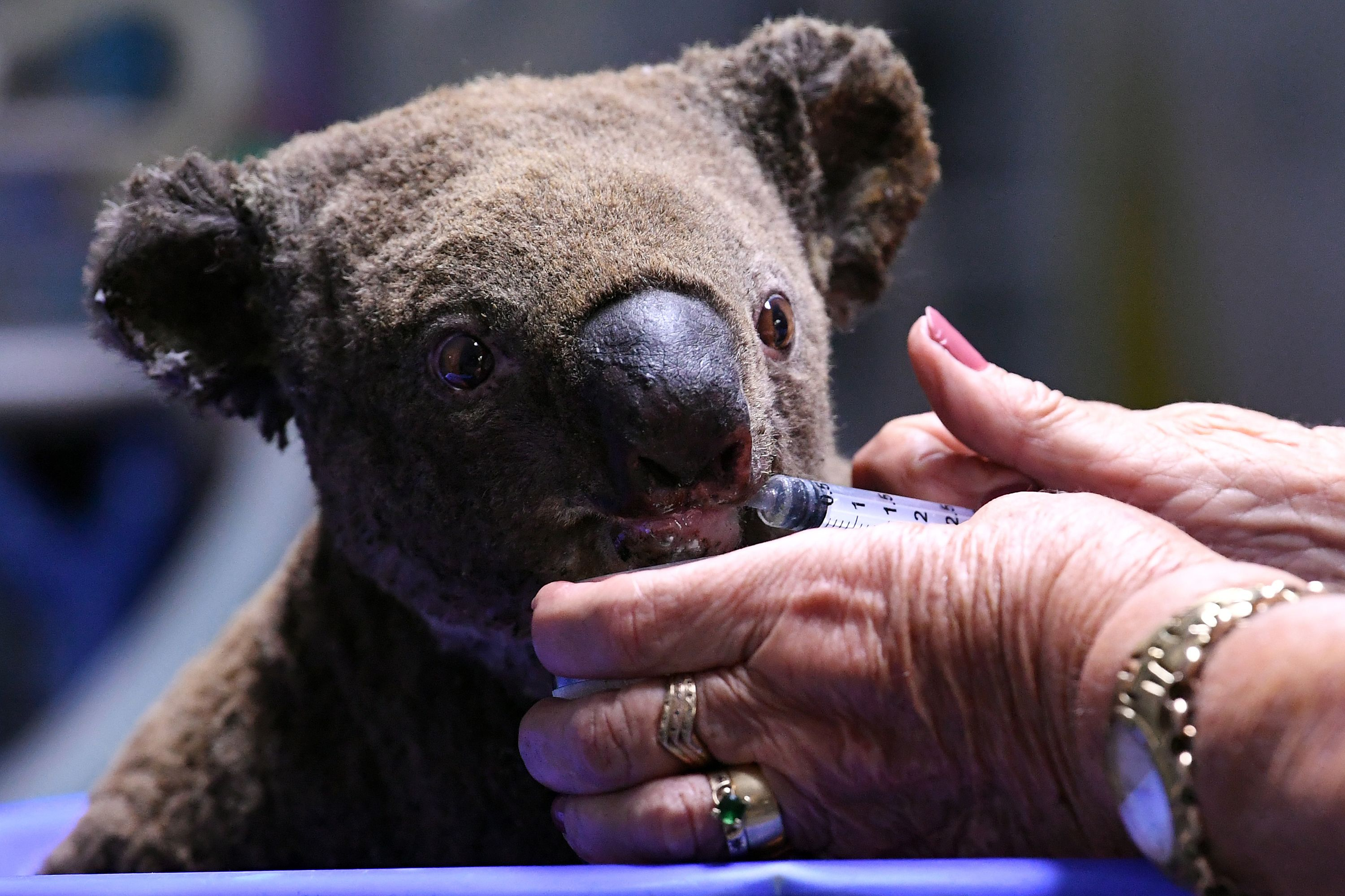 Koalas Were Already On The Brink In Australia Bushfires Have Killed 1 000 In 2 Months Experts Say Time