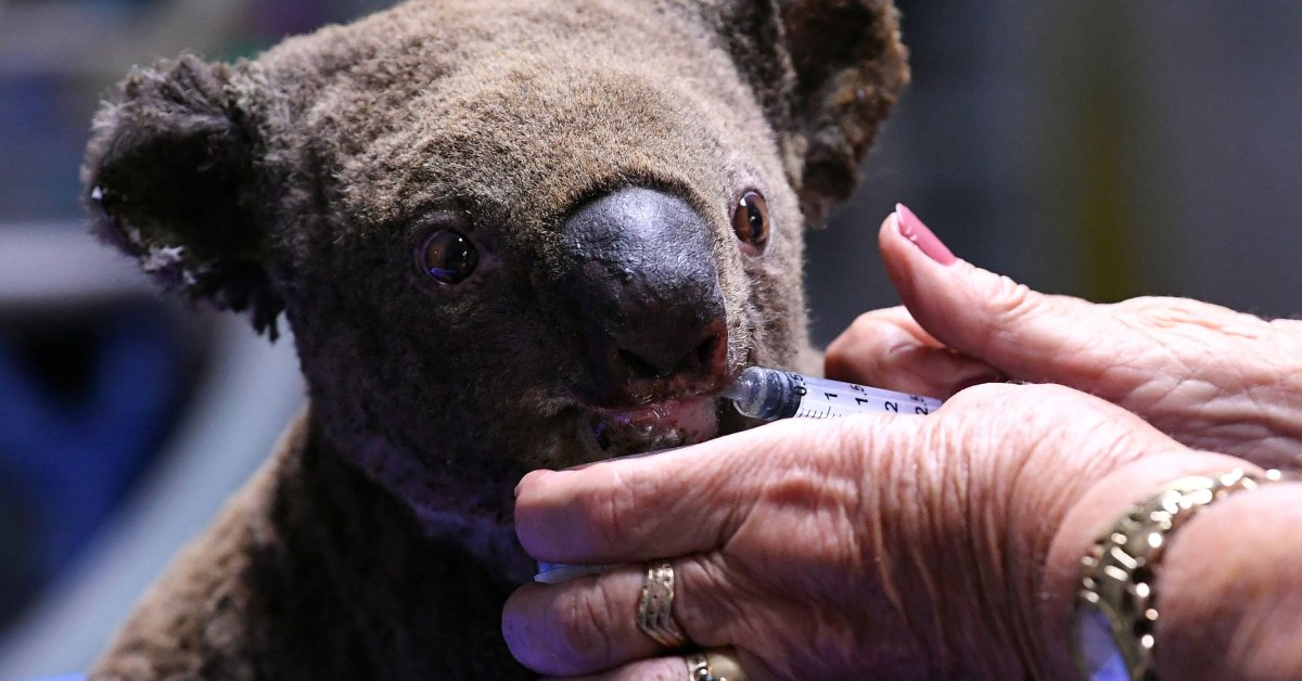 Koalas Were Already on the Brink in Australia. Bushfires Have Killed 1,000 in 2 Months, Experts Say