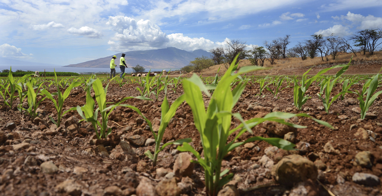 Monsanto crew members count corn sprouts in a field of test hybrids in a breeding nursery near Kihei, Hawaii on Sept. 10, 2014.