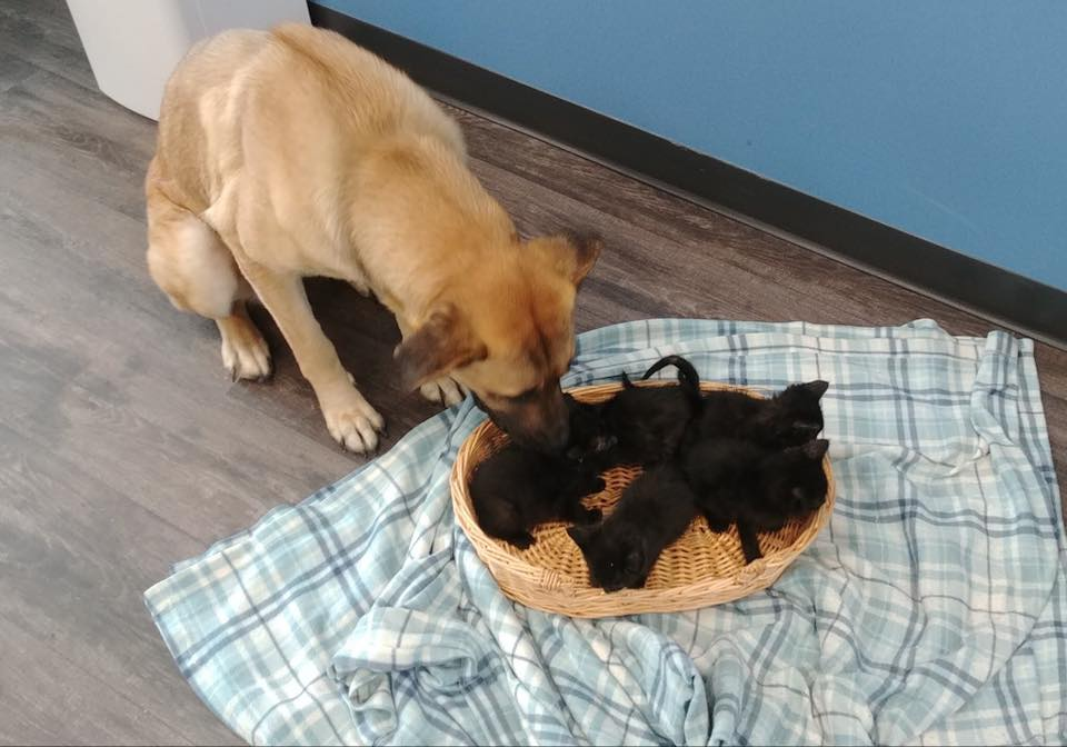 Serenity kisses her kittens in this undated photo provided by Pet and Wildlife Rescue.