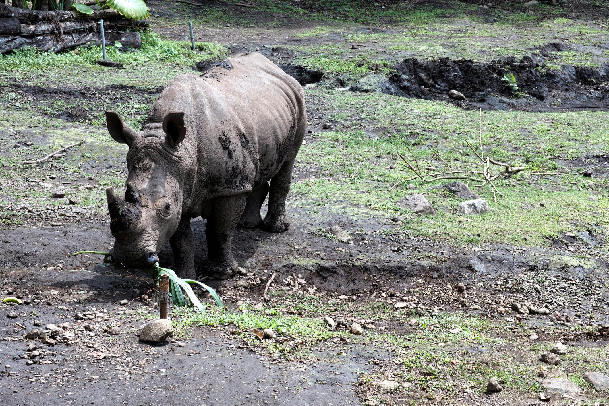 Sumatran Rhino eating it's food.