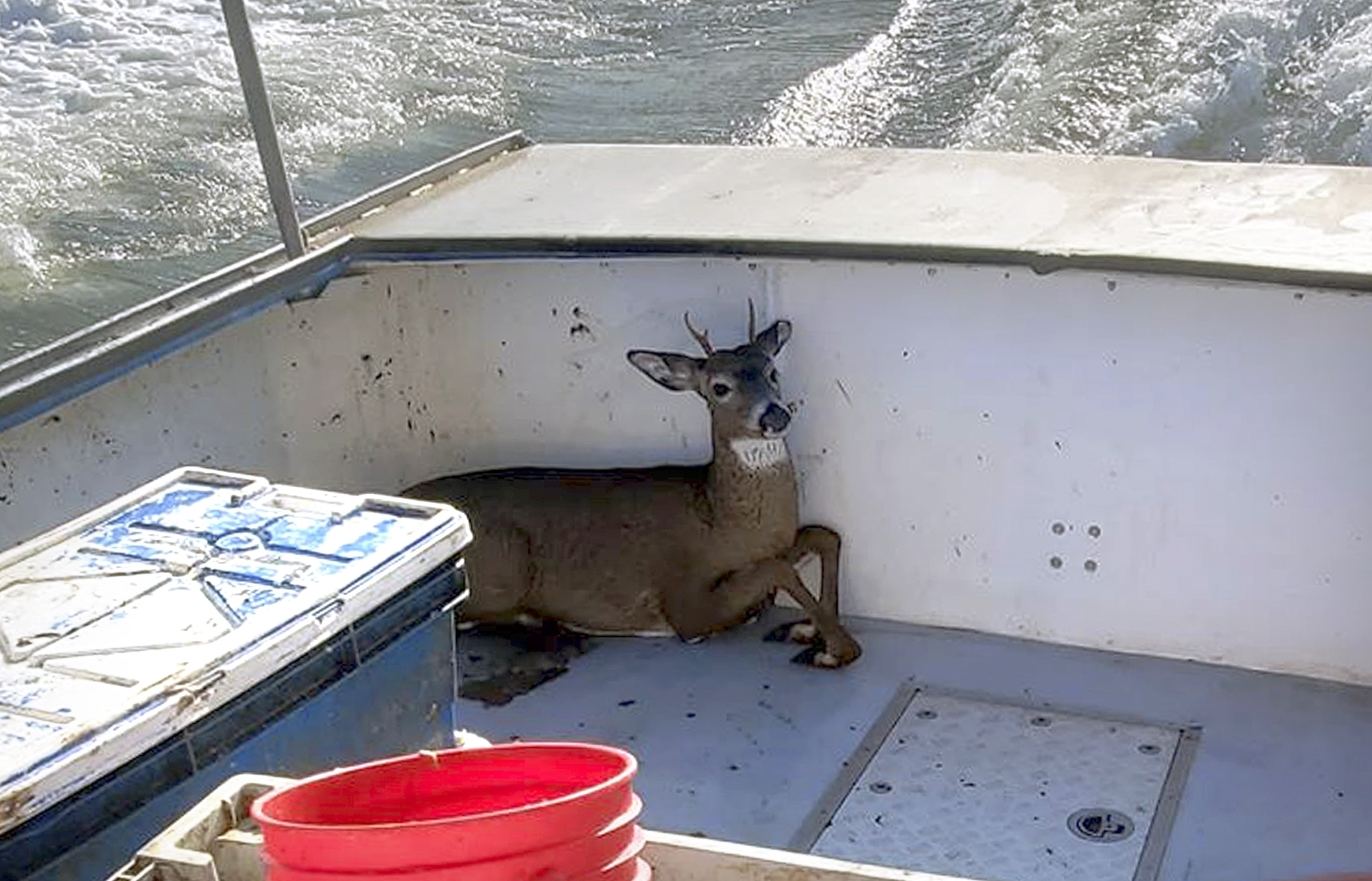 In this Monday, Nov. 4, 2019, photo provided by Jared Thaxter, a deer that was rescued from the ocean five miles off shore from Harrington, Maine, rests in a boat on its way back to shore.