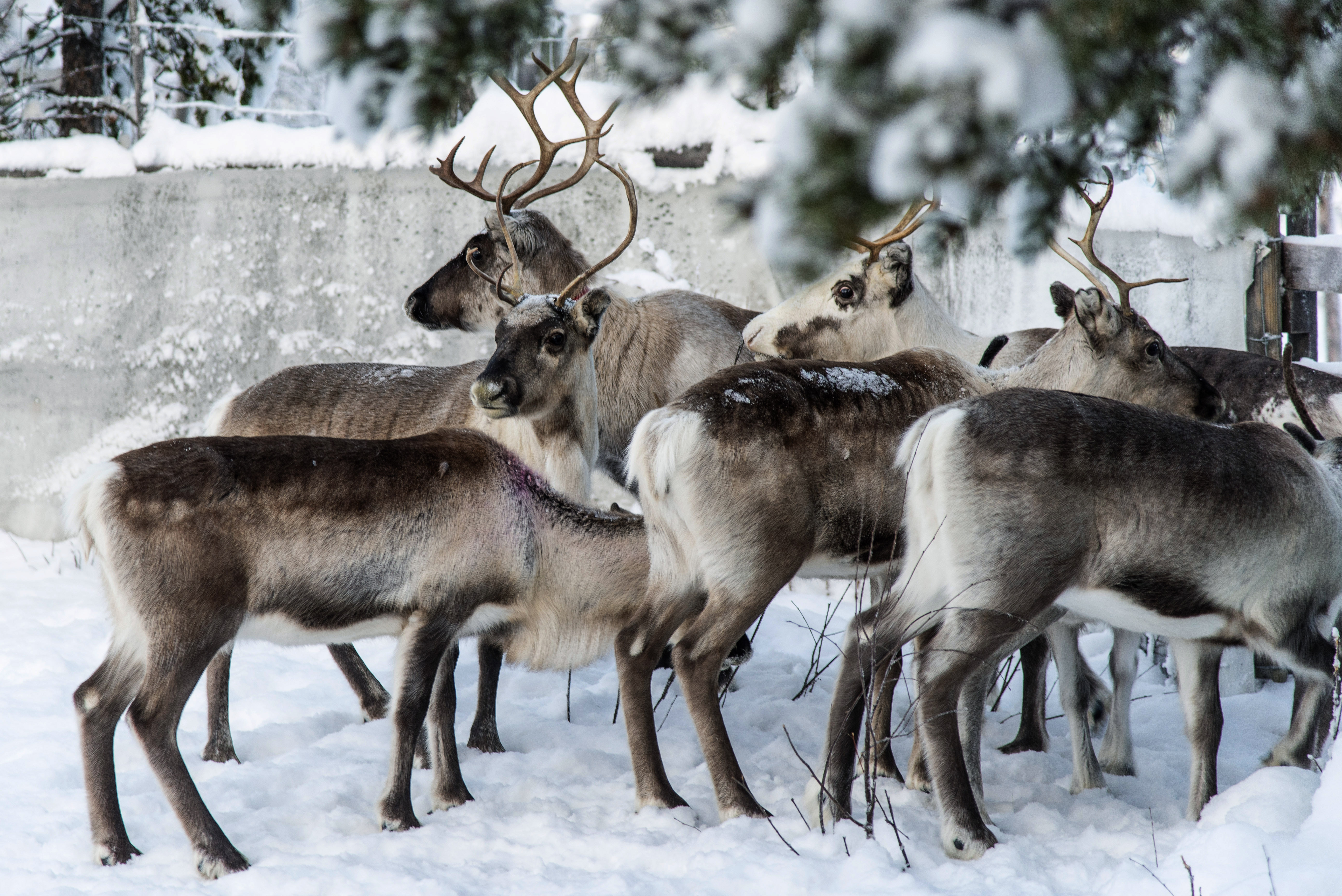 In this Saturday, Nov. 30. 2019 photo, reindeer in a corral at Lappeasuando near Kiruna await to be released onto the winter pastures. Global warming is threatening reindeer herding in Sweden's arctic region as unusual weather patterns jeopardize the migrating animals' grazing grounds as rainfall during the winter has led to thick layers of snowy ice that blocks access to food.