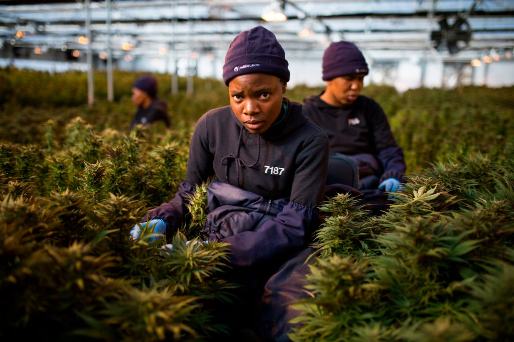 Women workers pick up leaves from cannabis plants inside a greenhouse of Medigrow, a Lesotho-Canadian company that grows legal cannabis, located near Marakabei, in Lesotho on August 6, 2019.