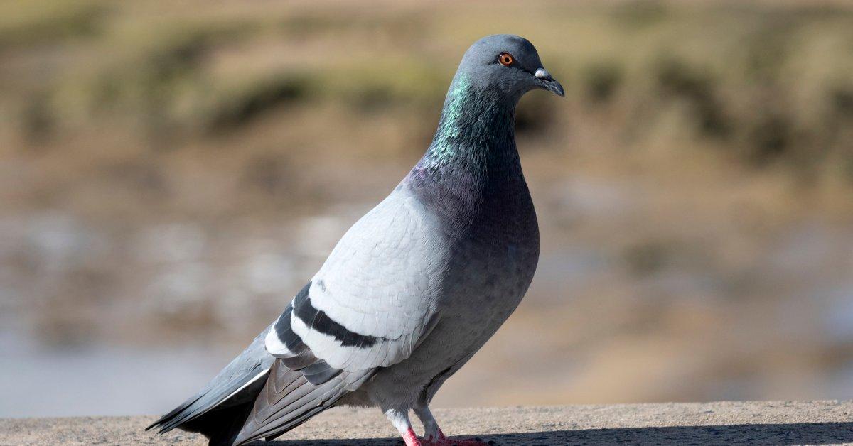 Тем временем в Лас-Вегасе на головах голубей загадочно появились ковбойские шляпы thumbnail