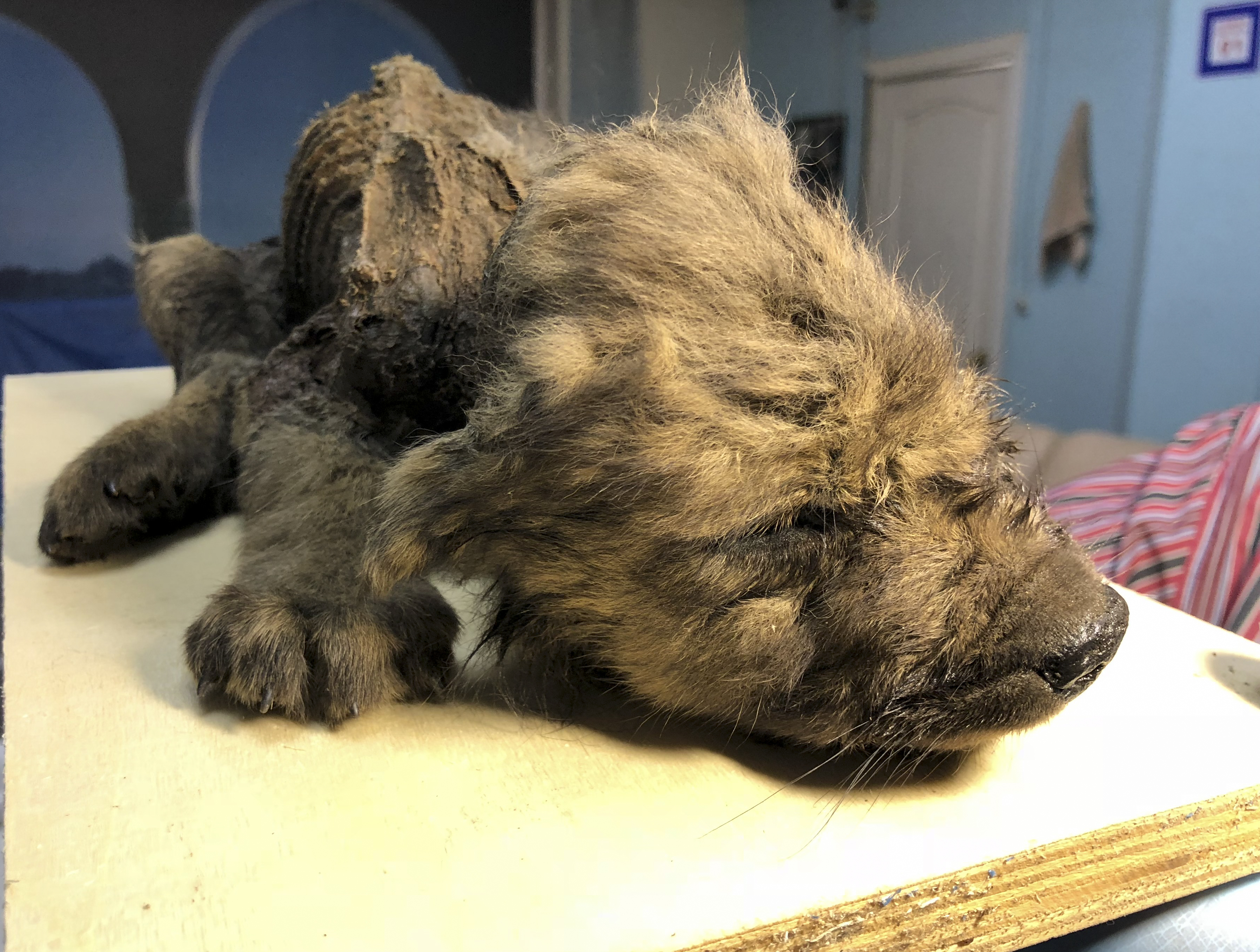 This is a handout photo taken on Monday, Sept. 24, 2018, showing a 18,000 years old Puppy found in permafrost in the Russia's Far East, on display at the Yakutsk's Mammoth Museum, Russia.