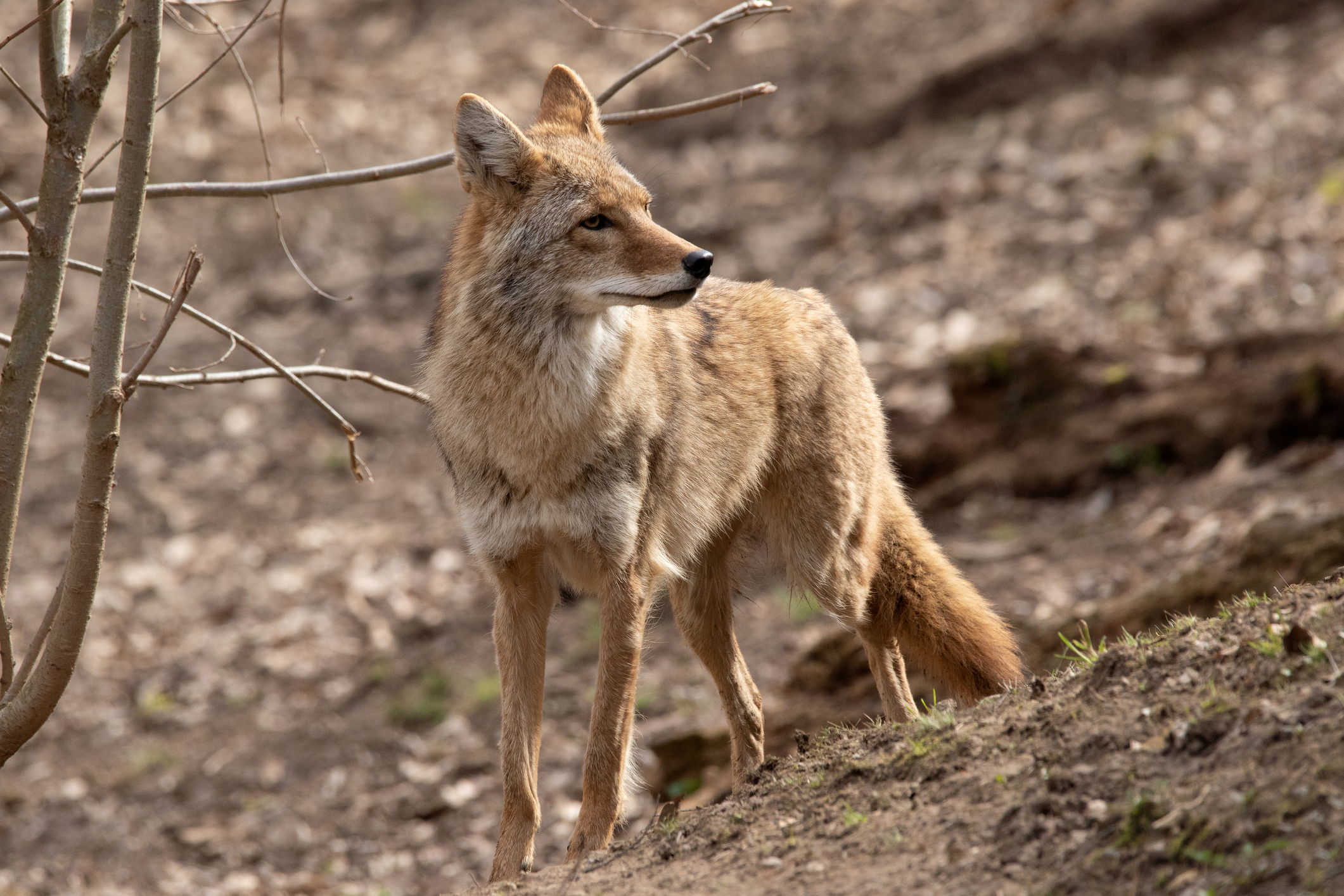 A coyote , listening intently