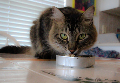 A cat eats a can of sardines off the table