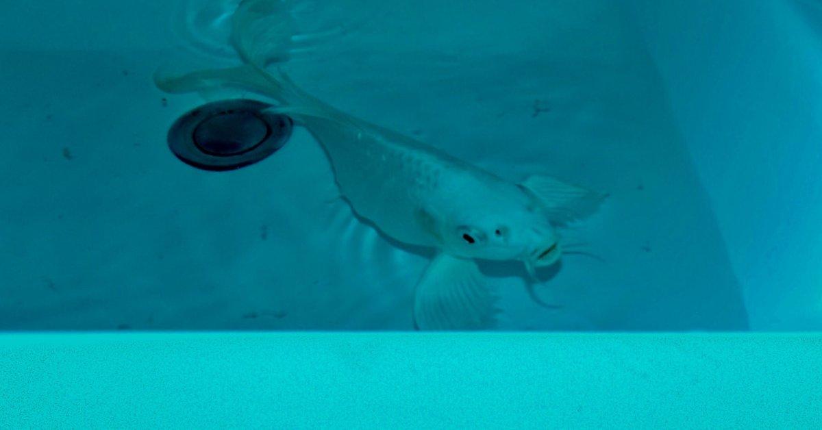 Кошачий хаос преследует, когда прыгающая рыба становится боевой thumbnail