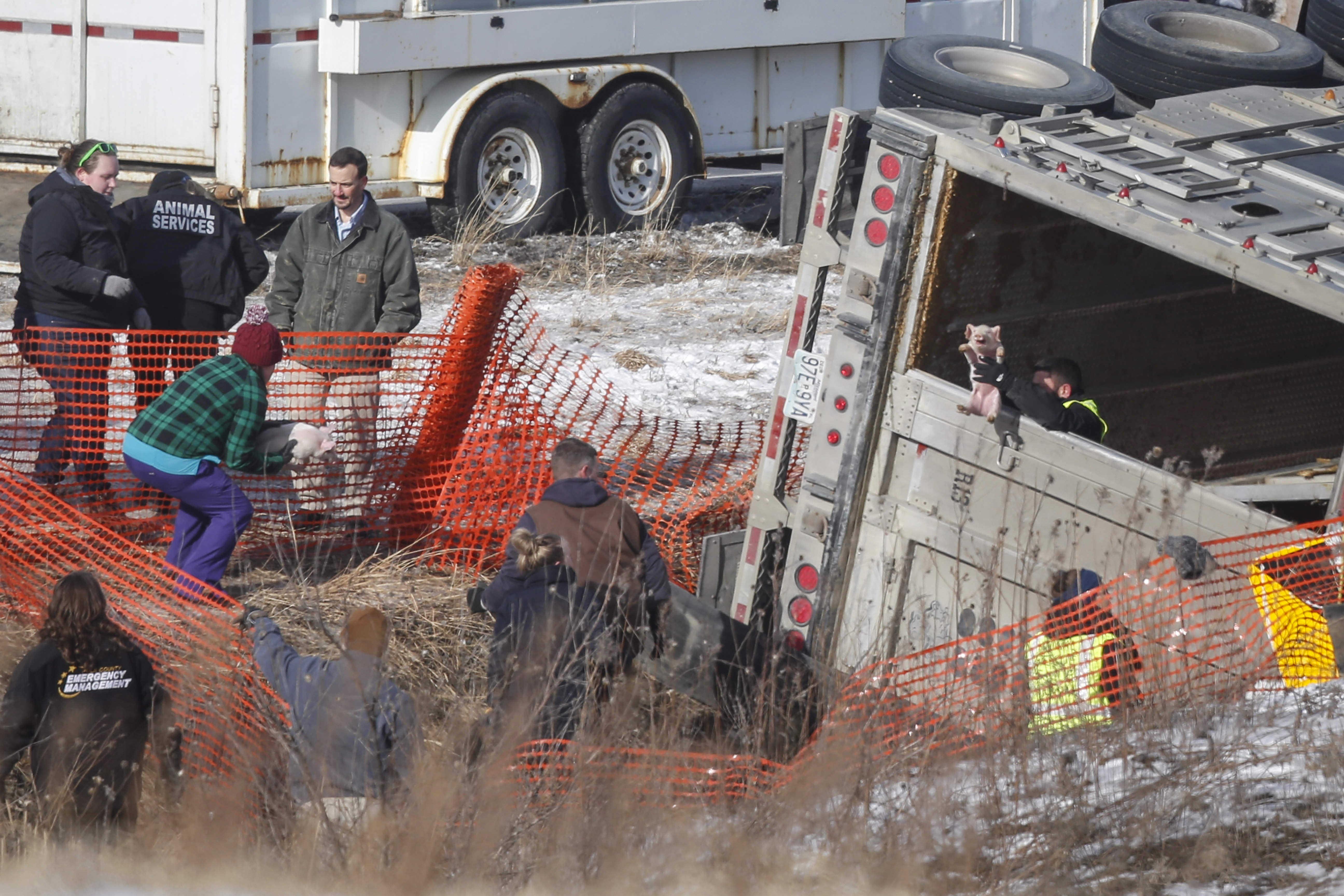 Over 100 Piglets Die During Livestock Semi-Trailer Crash in Iowa