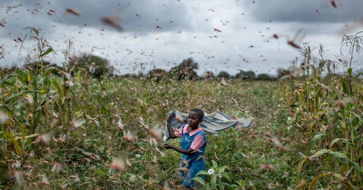Kenya Desert Locusts jpg?quality=85&w=1200&h=628&crop=1
