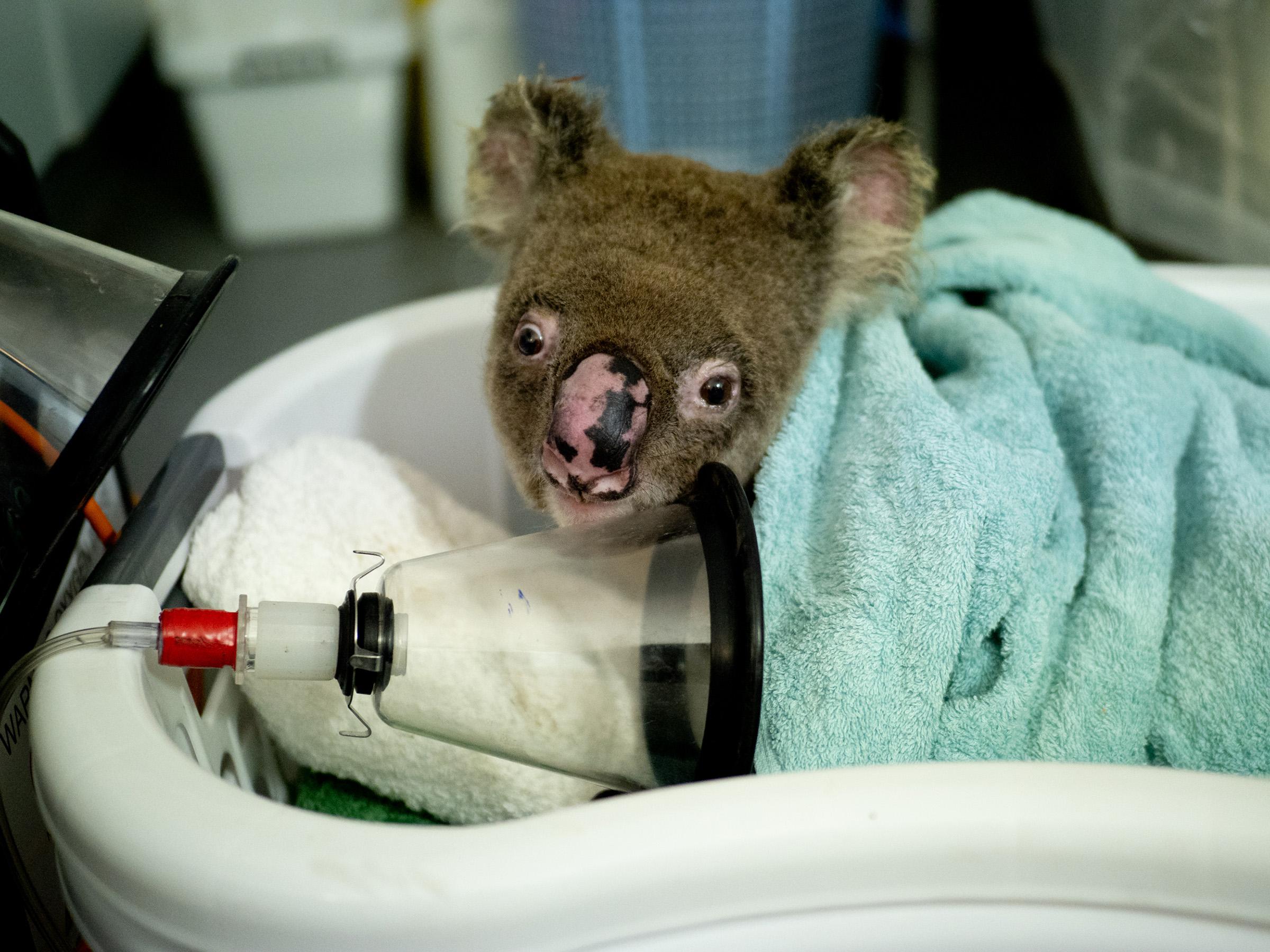 A bushfire survivor wakes up post surgery at Port Macquarie Koala Hospital in Australia on Dec.6, 2019.