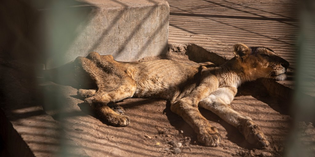 Photos of Starving Lions in Sudan Zoo Spark Global Concern