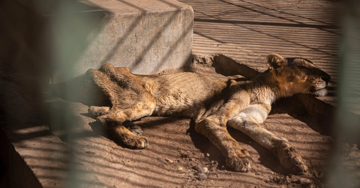 Фотографии голодающих львов в суданском зоопарке Spark Global Concern thumbnail