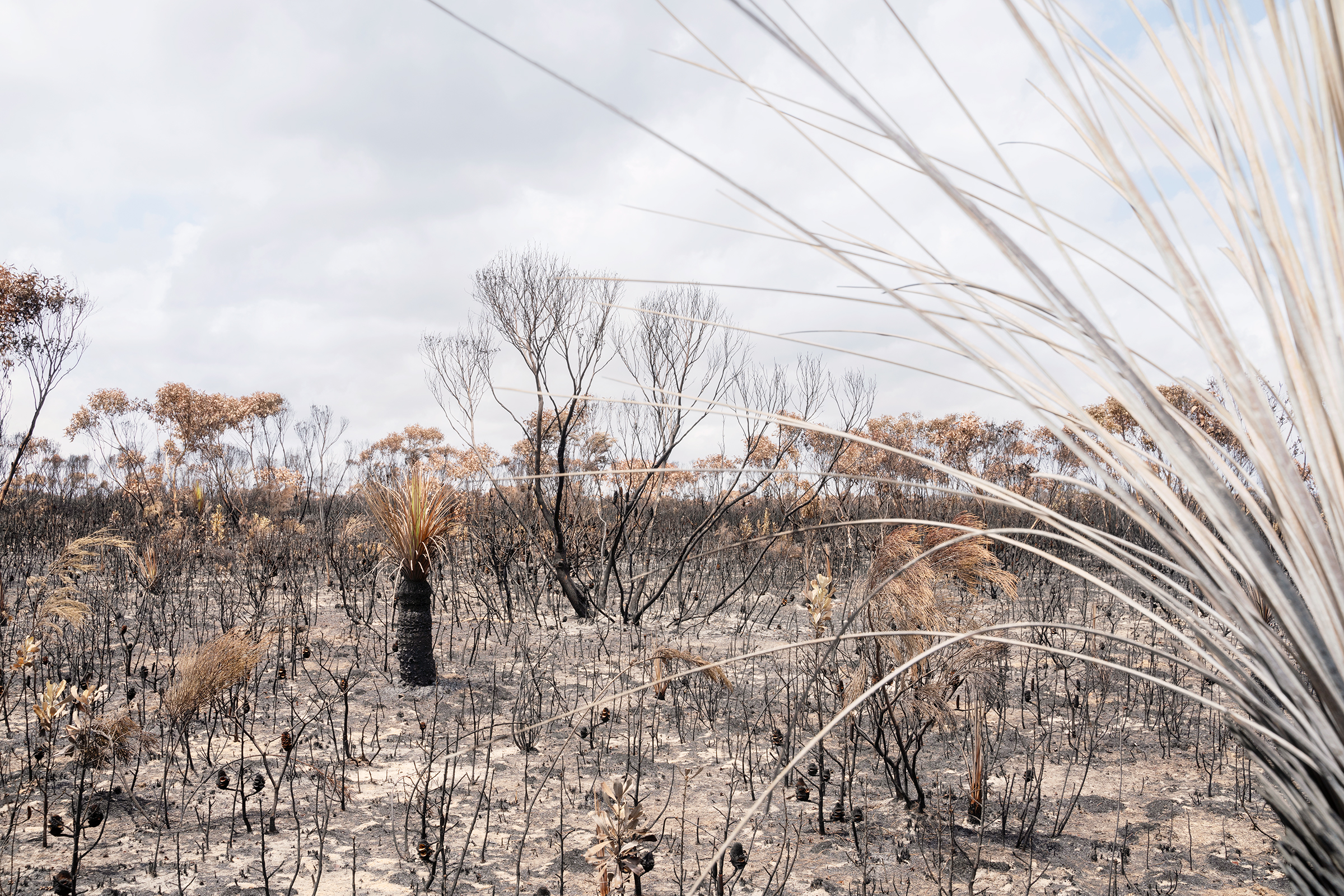 Charred remains of trees in Flinders Chase National Park on Kangaroo Island on Jan. 16.