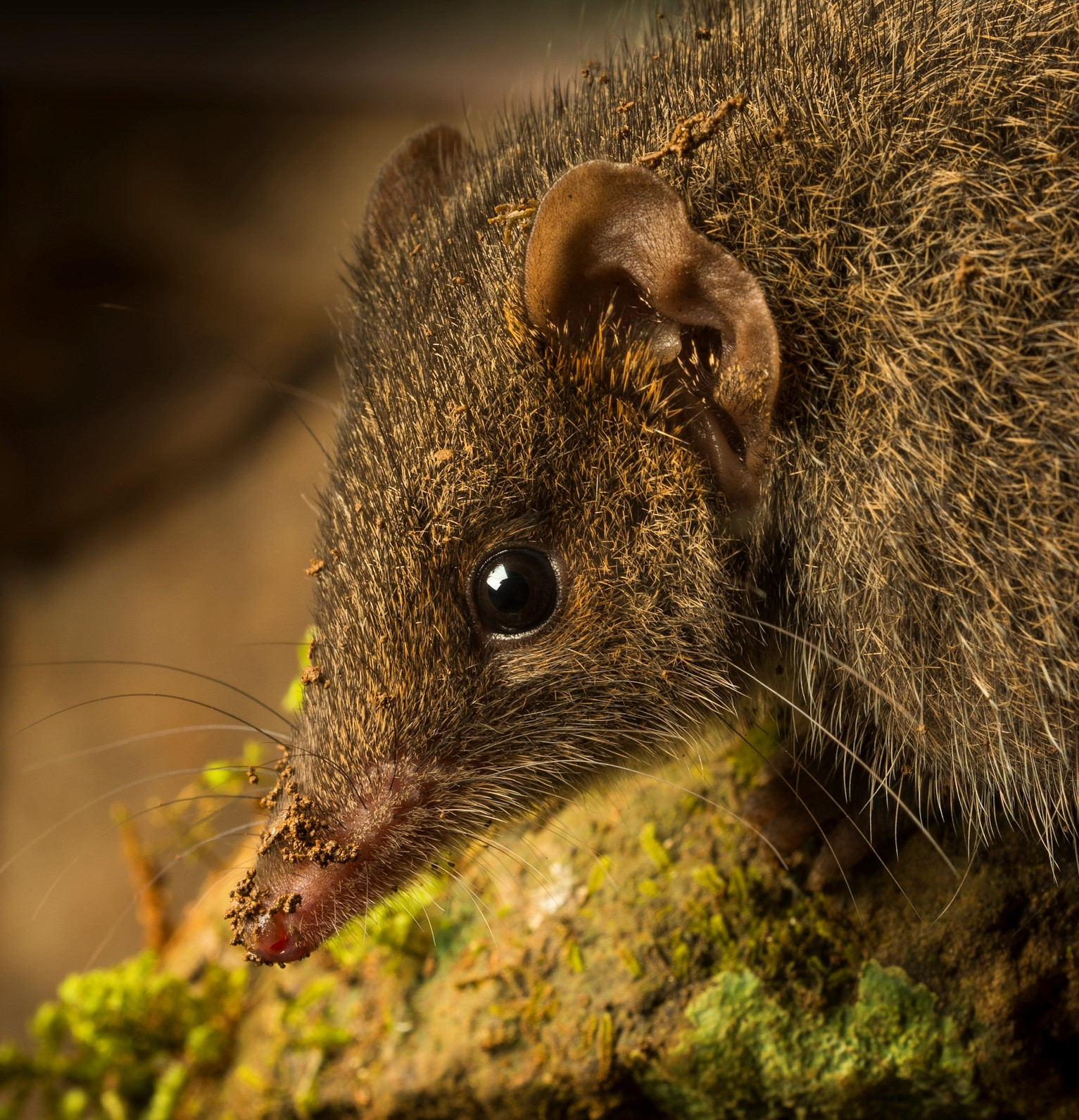 The black-tailed dusky antechinus was only discovered five years ago in Australia and now the researcher who identified it fears it could be on the brink of extinction as a result of climate change and intense bush fires.