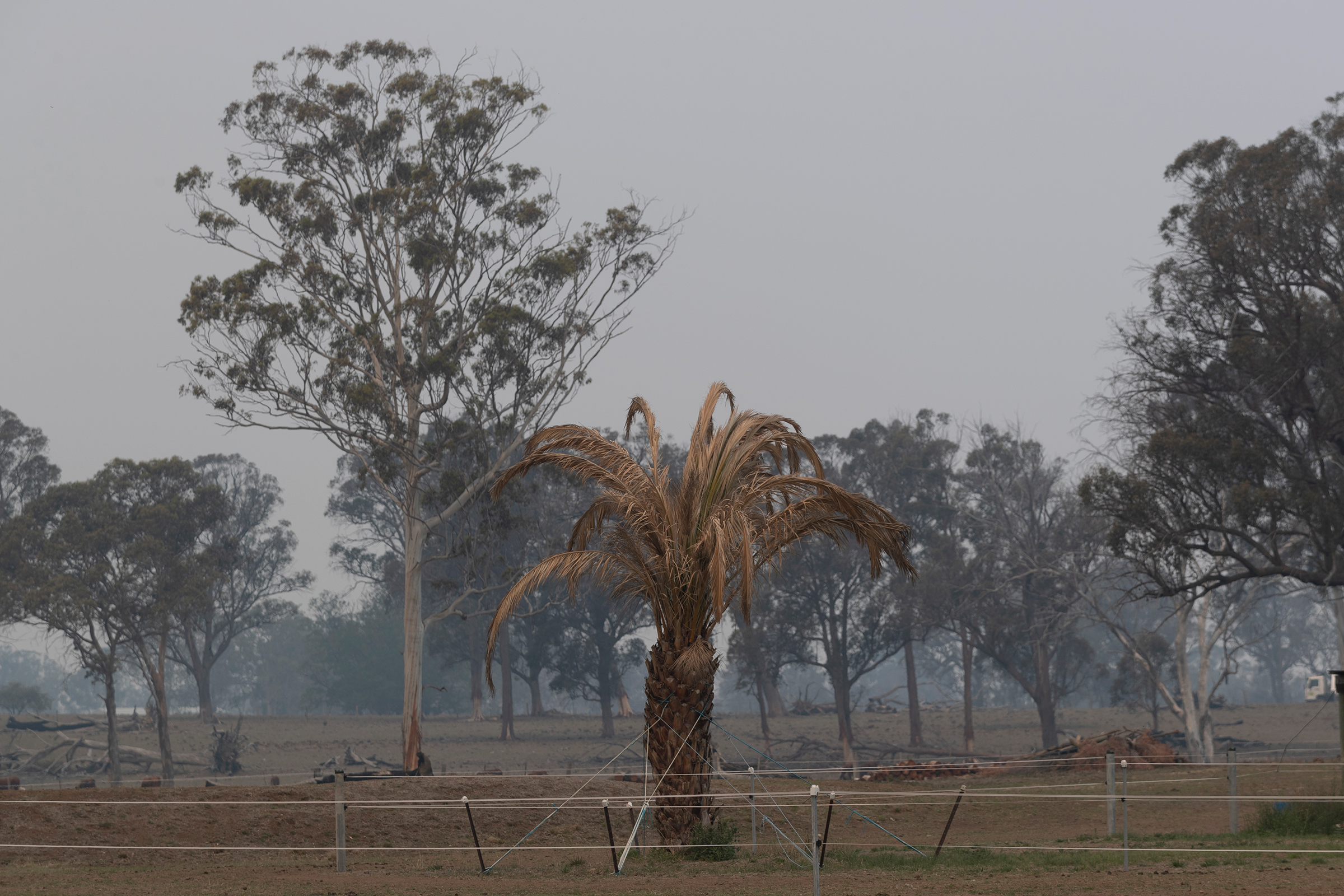 A palm tree blackened by fire in Glen Innes, New South Wales, on Nov. 11, 2019.
