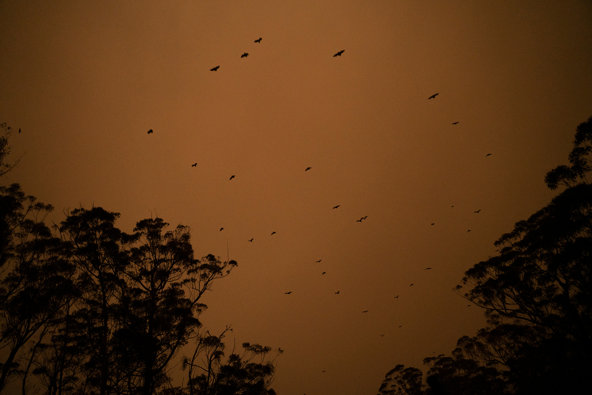 Bats fly through a smoke-filled sky above a highway between Ulladulla and Batemans Bay in New South Wales on Jan. 4.