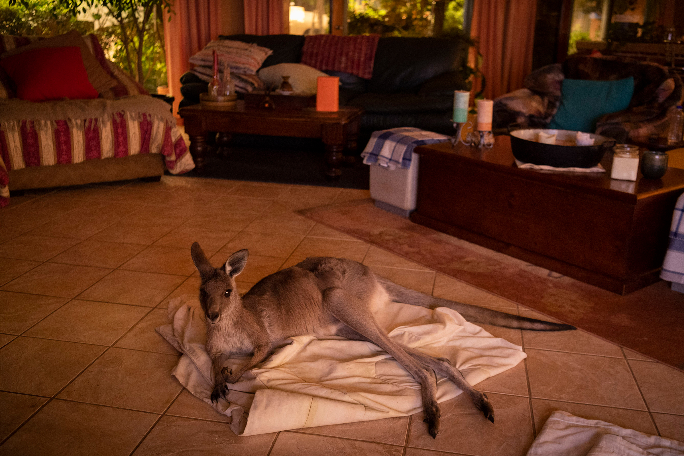 Mim, a female Eastern Grey Kangaroo, was hand-fed by a local family and decided to take shelter in their home on the outskirts of Kulnura, New South Wales, on Dec. 6, 2019.