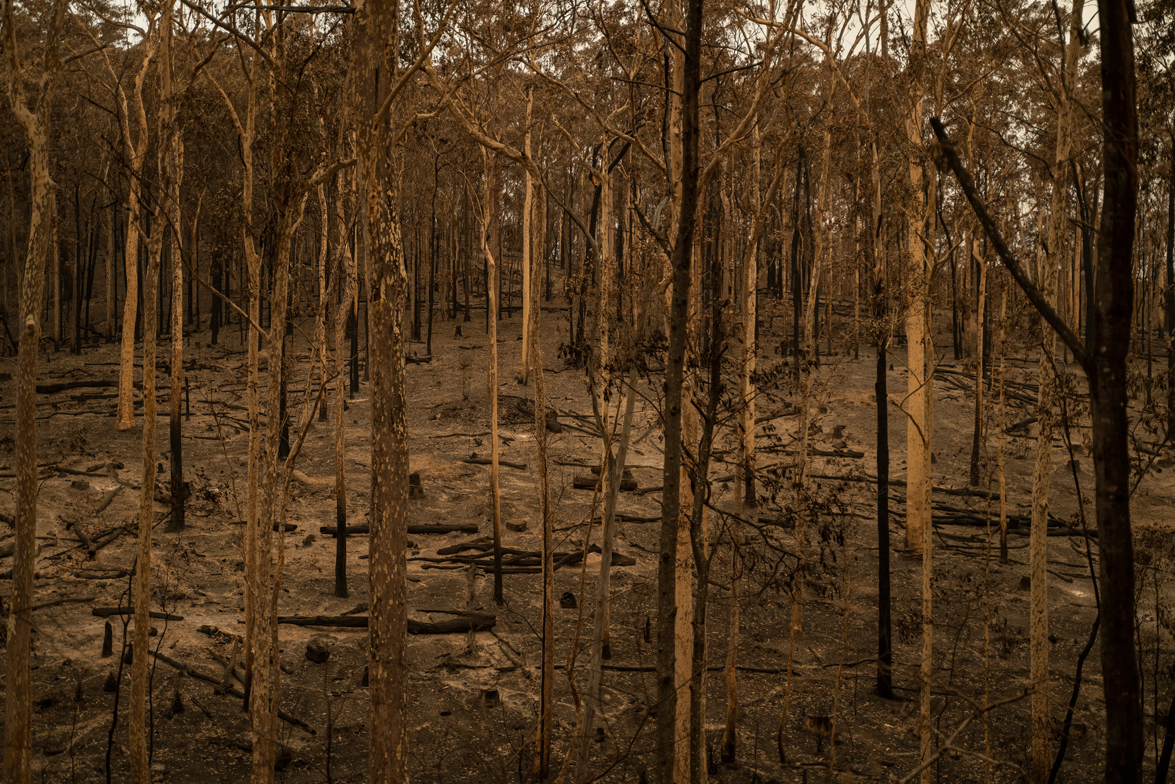 Burnt trees in Mogo State Forest in New South Wales, Australia, on Jan.5