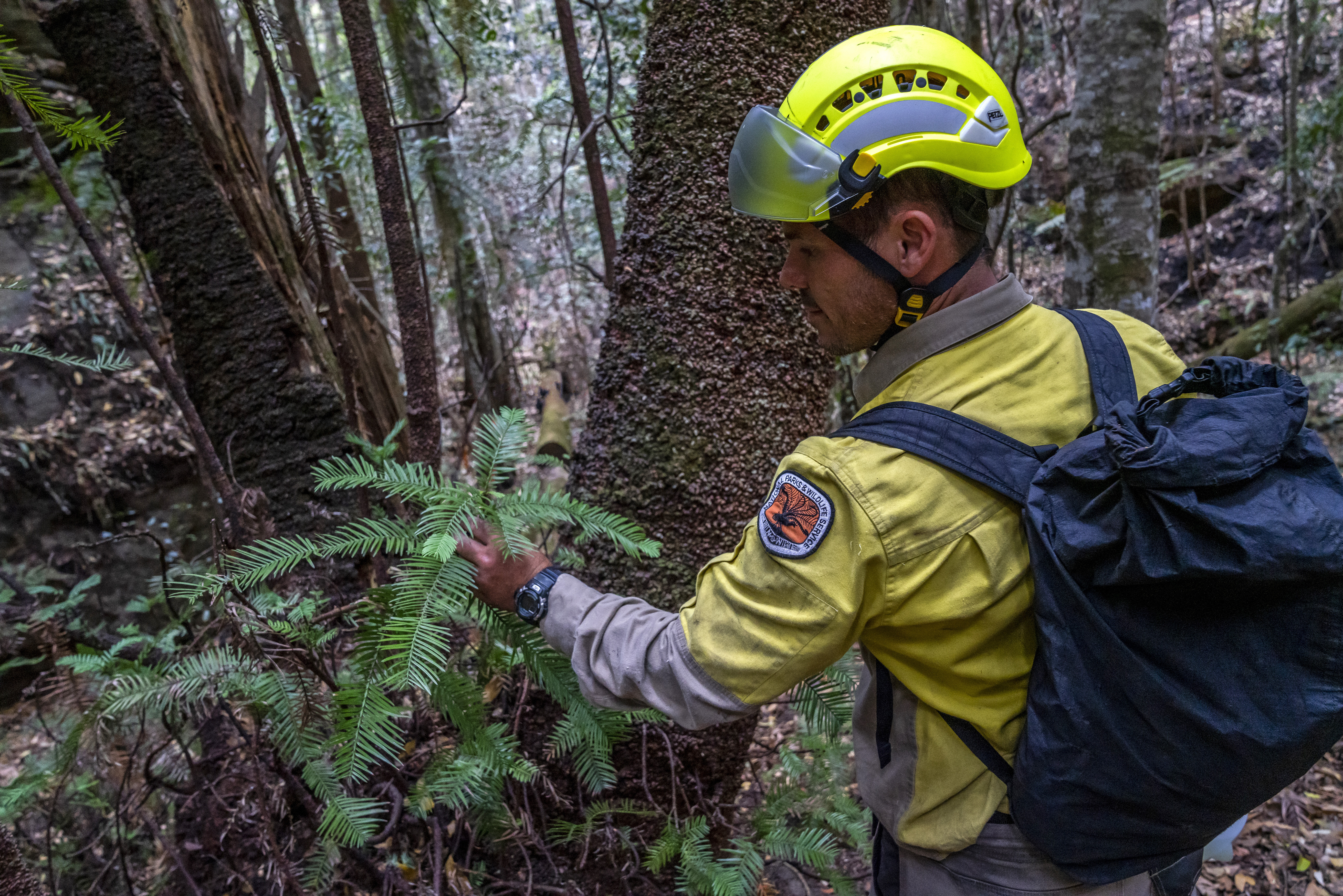 NSW National Parks and Wildlife Service personnel inspect the health of Wollemi pine trees in the Wollemi National Park, New South Wales, Australia in this photo provided Jan. 16, 2020.