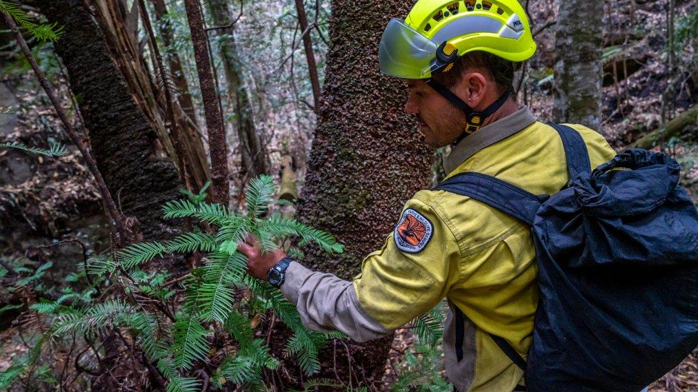 Australian Firefighters Save the World's Last Remaining Dinosaur Trees
