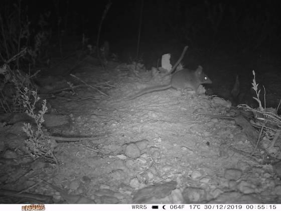 Dunnart Kangaroo