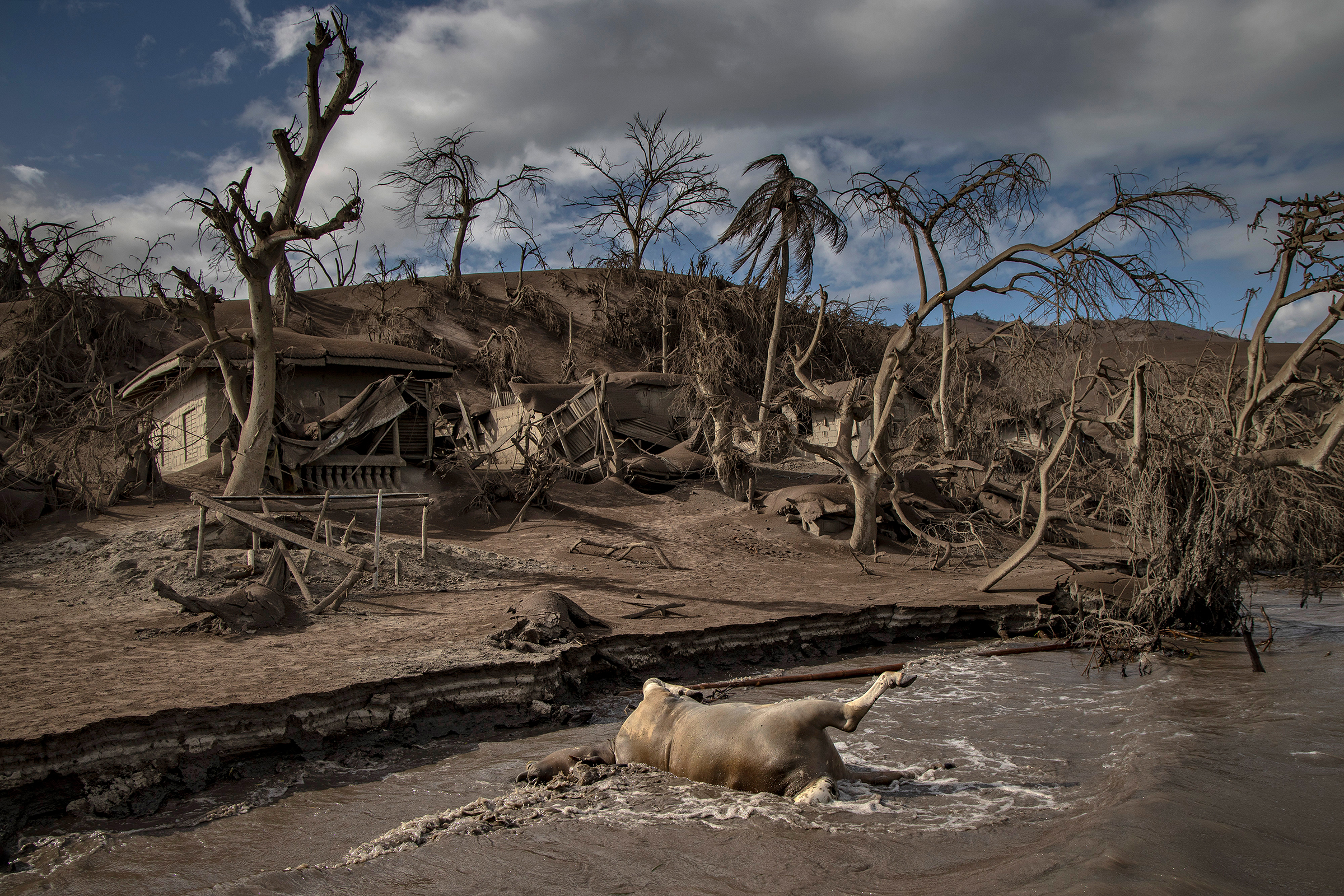 A dead cow rests on the shore. Nearby remains of animals, trees and houses are buried in ash on the island.