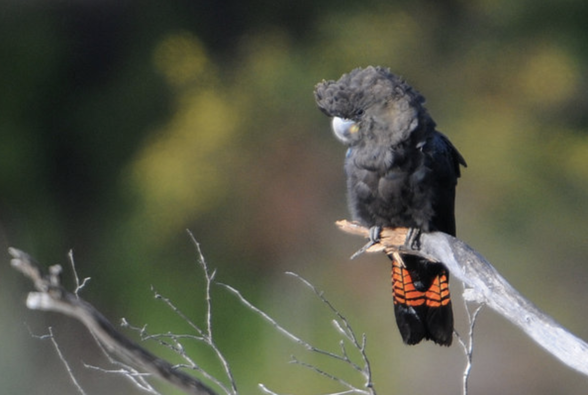 A female glossy black-cockatoo. This species' habitat was destroyed in fires on Kangaroo Island