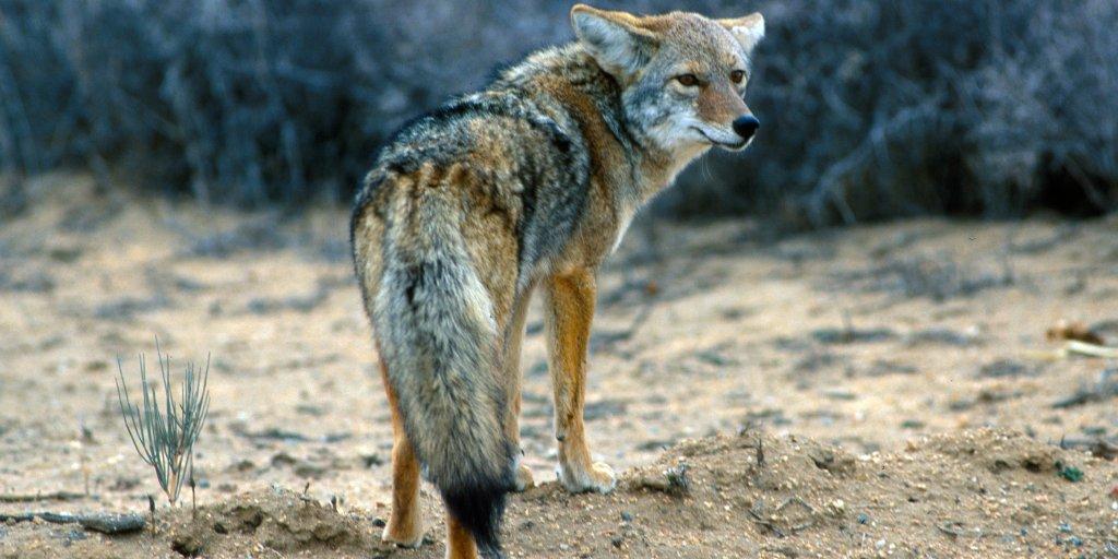 Defending Child Under Attack, New Hampshire Man Strangles Coyote
