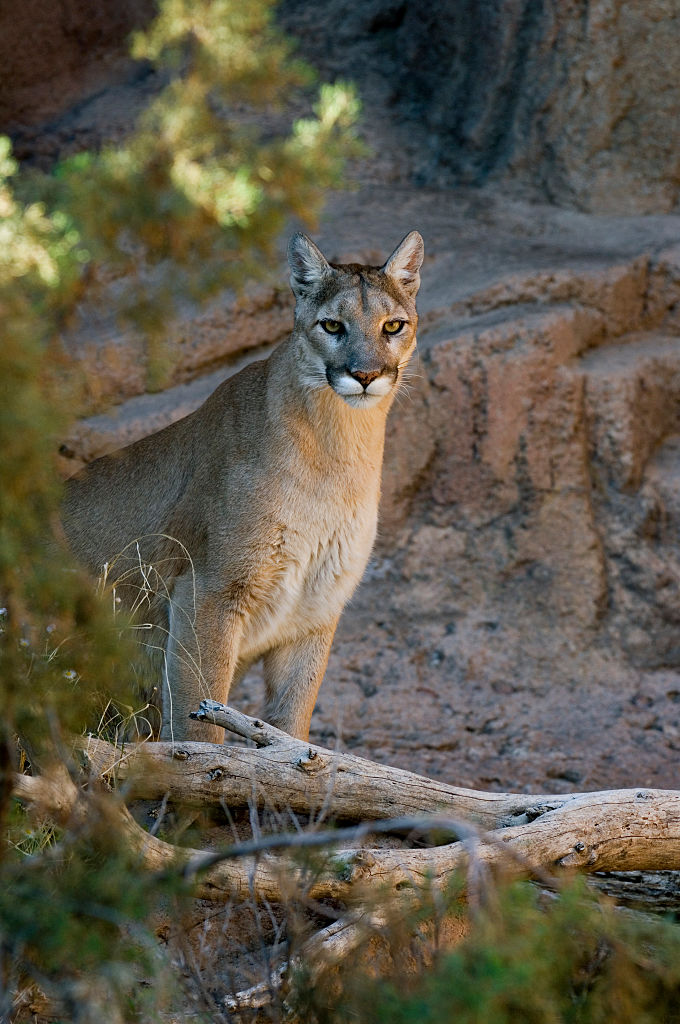 A mountain lion in the Sonora Desert in Arizona, United States.