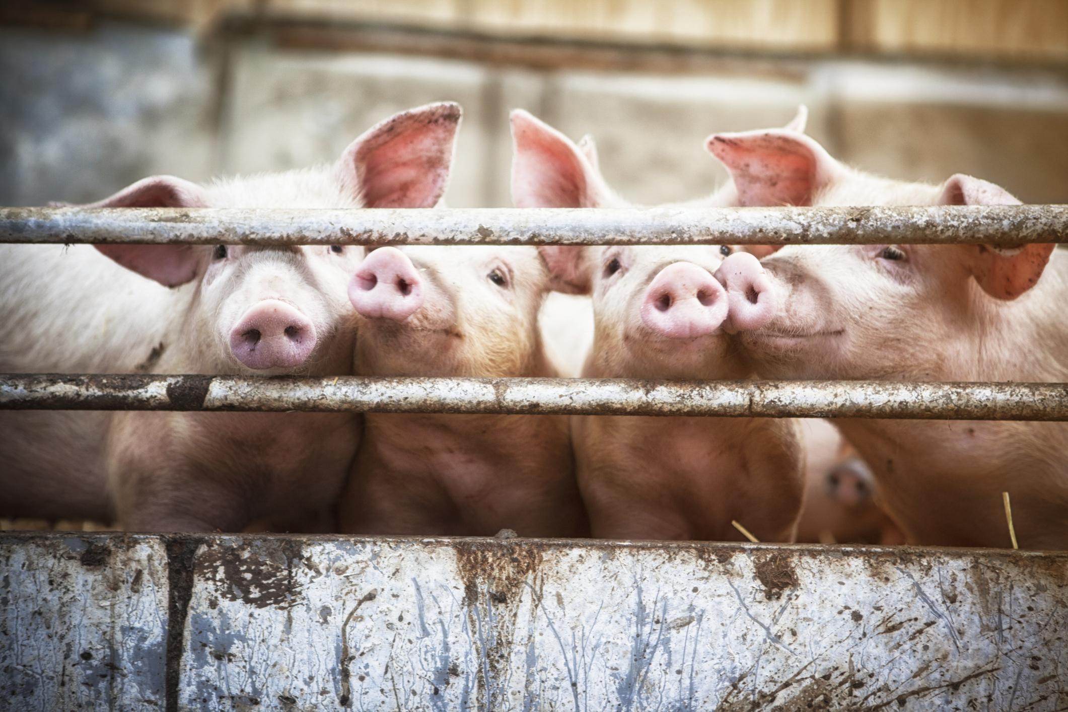 Piglets living  on organic ecological farm in Denmark.