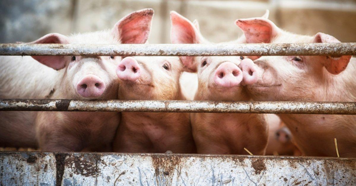 Более 100 поросят умирают во время крушения полуприцепа скота в штате Айова thumbnail