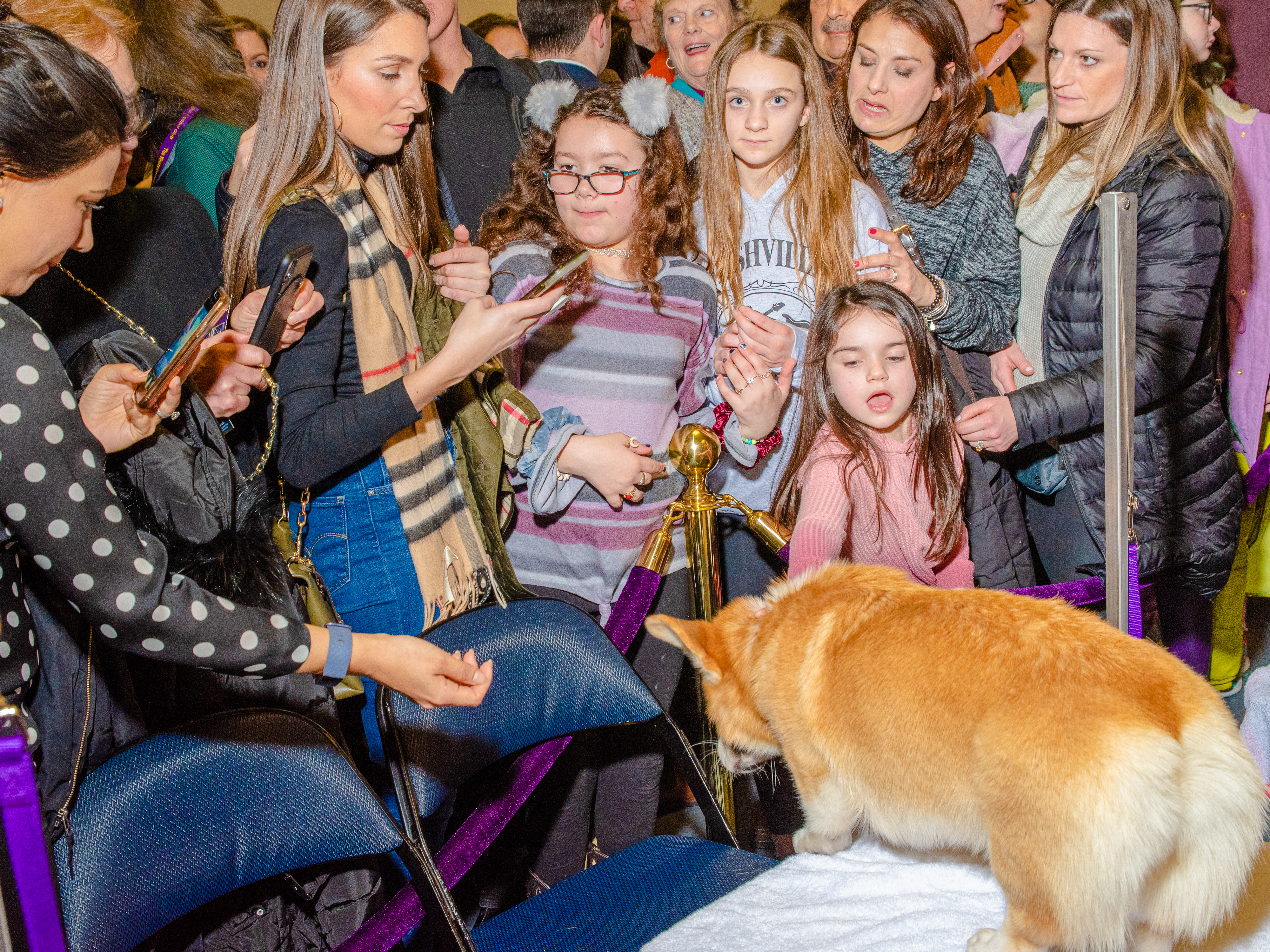 An adoring crowd gathers to see the best in show Corgi at Madison Square Garden