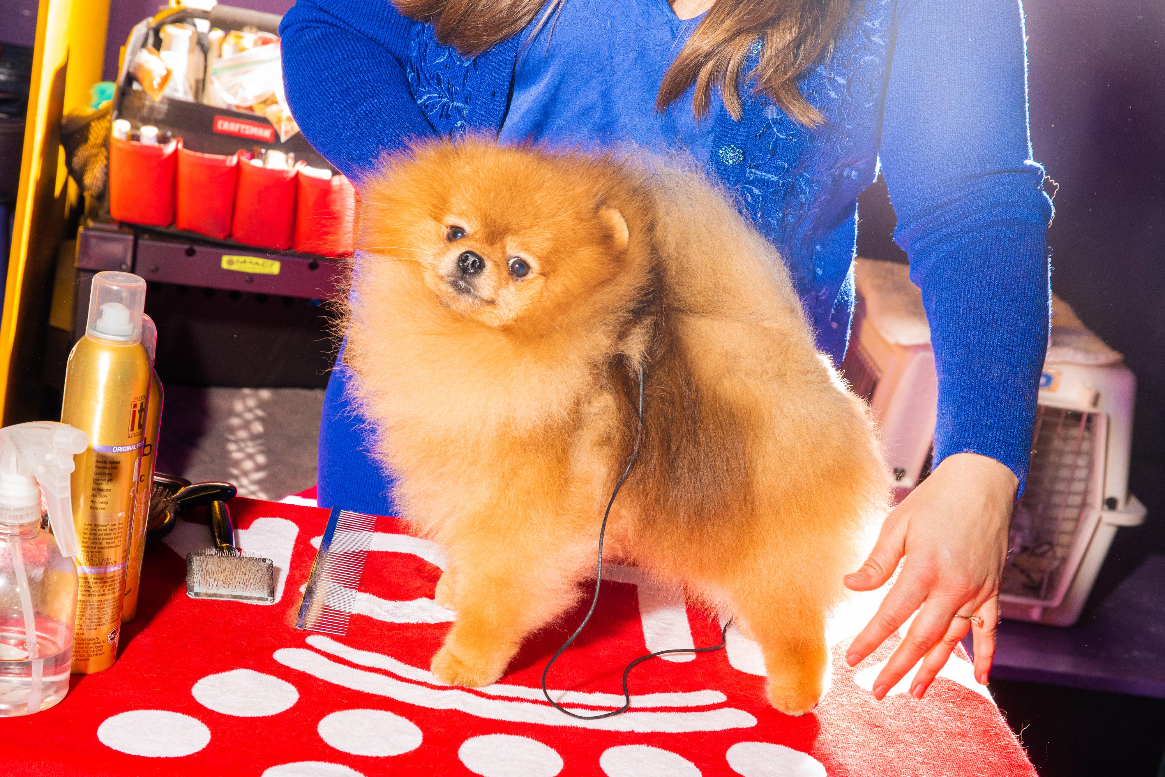 A Pomeranian receives a final touch up