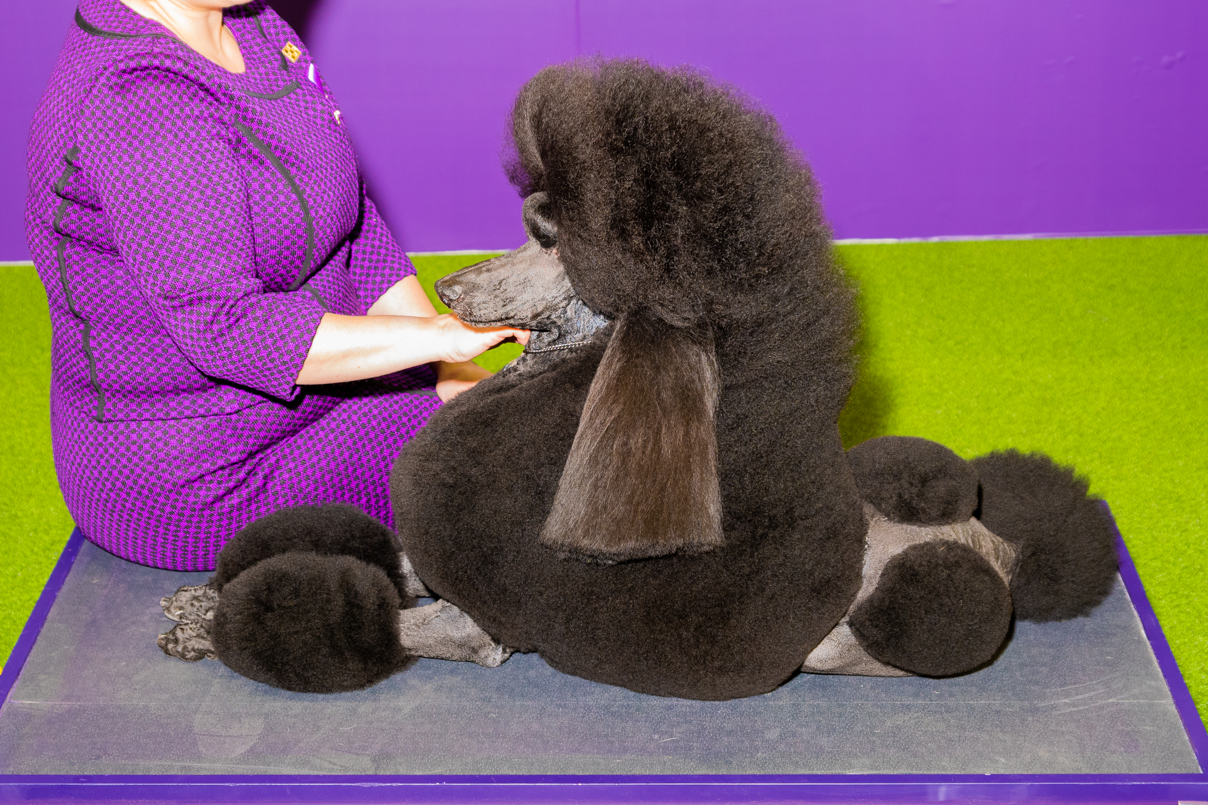 Siba, a standard poodle, won Best in Show
