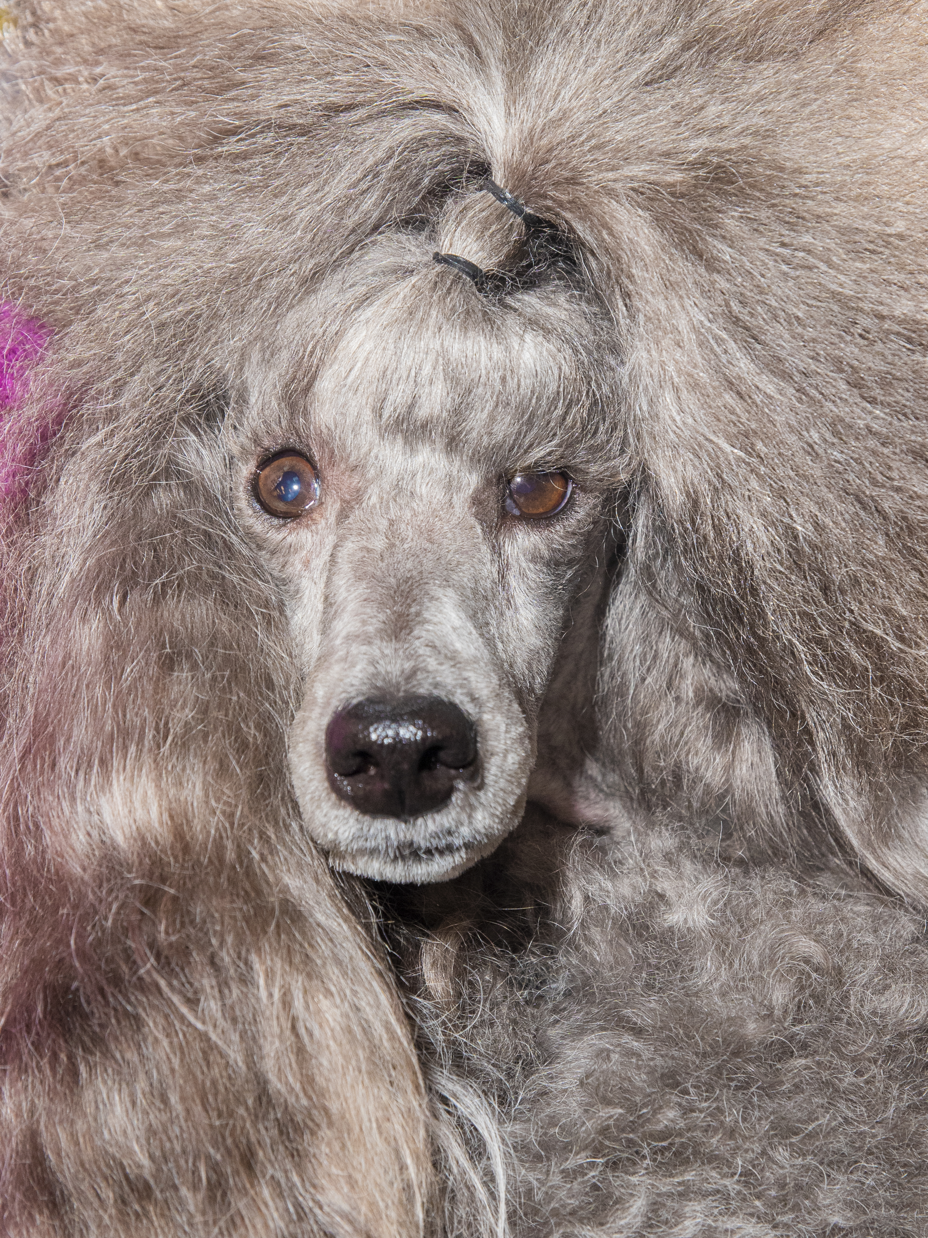 A poodle poses for a portrait at the Westminster Dog Show in New York City on Feb. 10, 2020.
